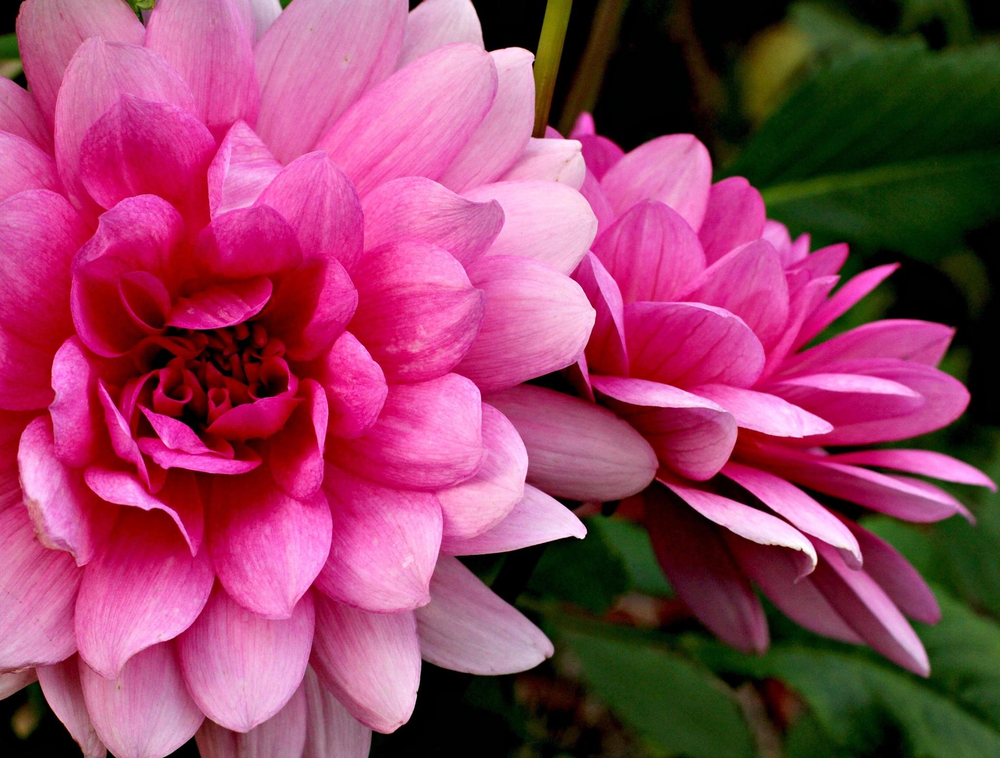 Pink by carolyn.johnnyalcina