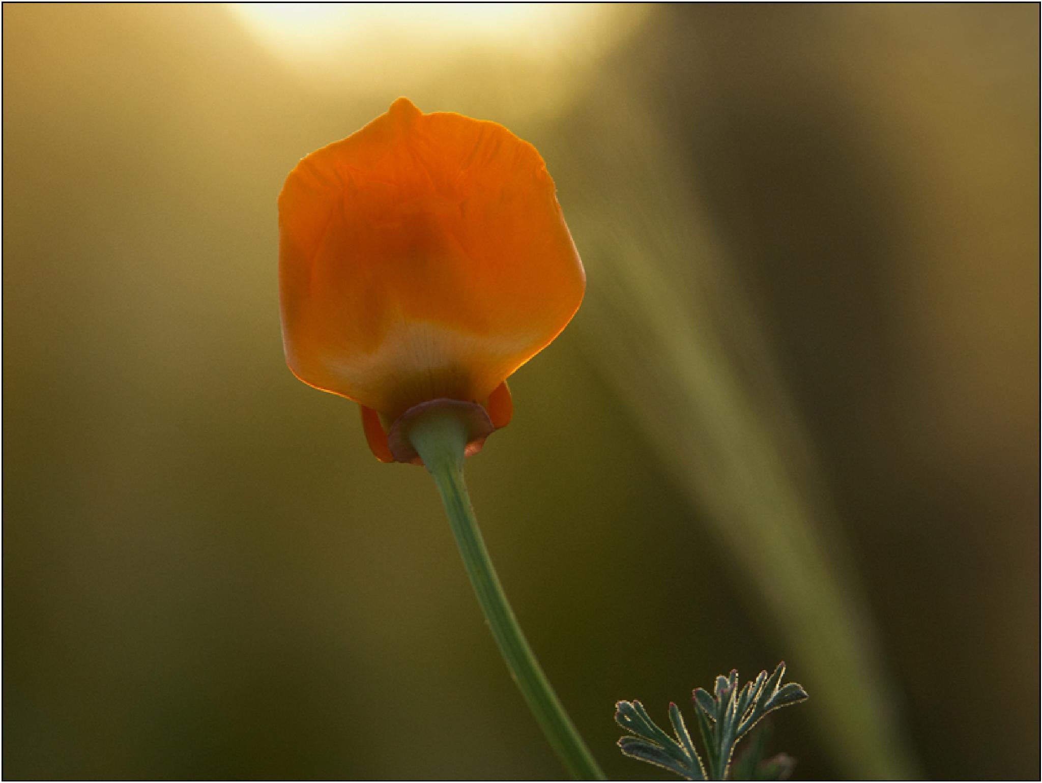California Poppy _ Morning Sun by Ajanovic