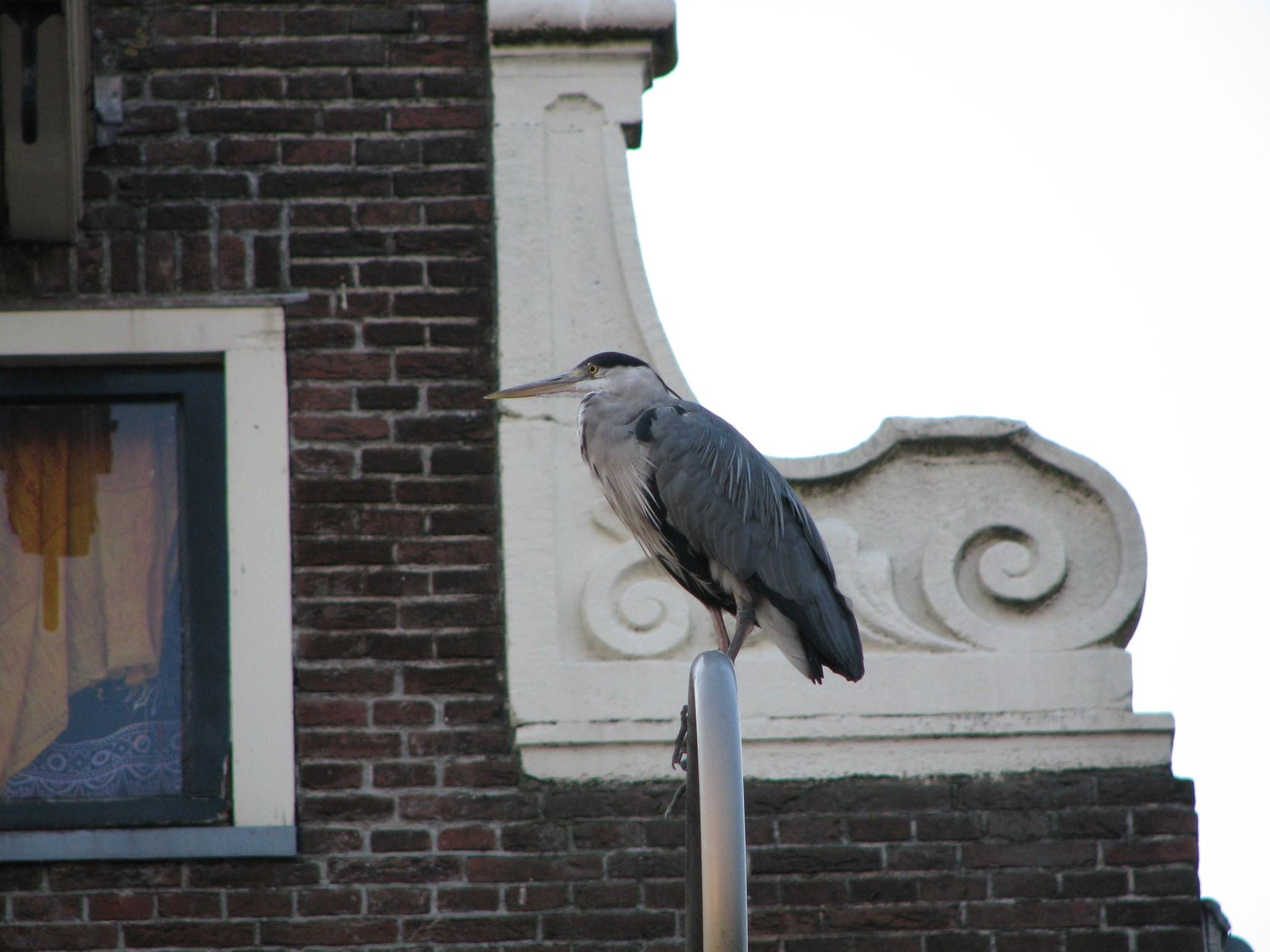 Seagull Amsterdam by John M DesJardins