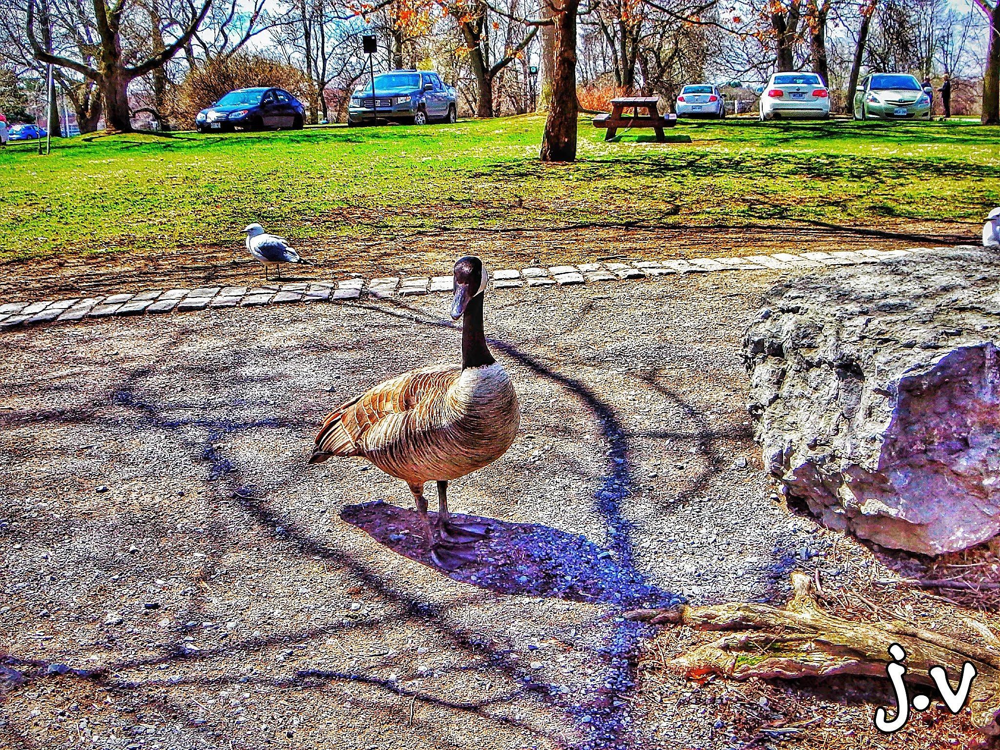 Duck at the park! by Jerry  Val