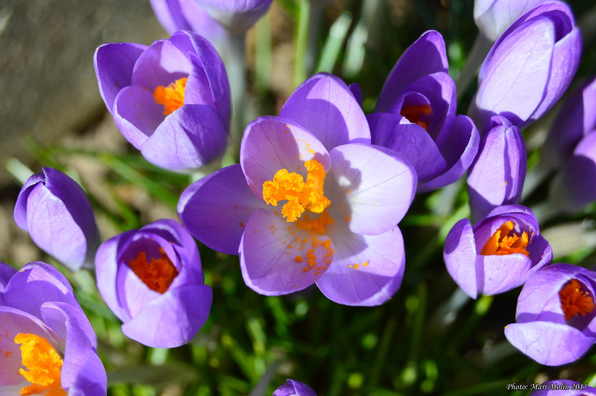 Spring = Crocus flower by Mari Molin