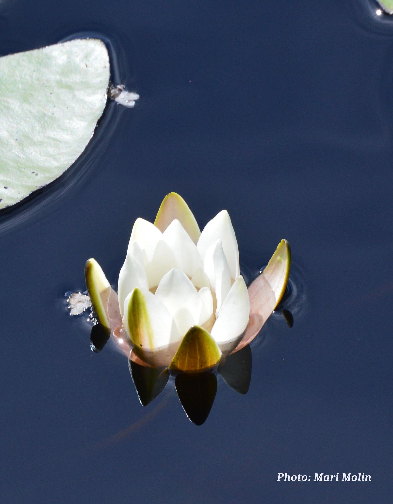 water lily  by Mari Molin