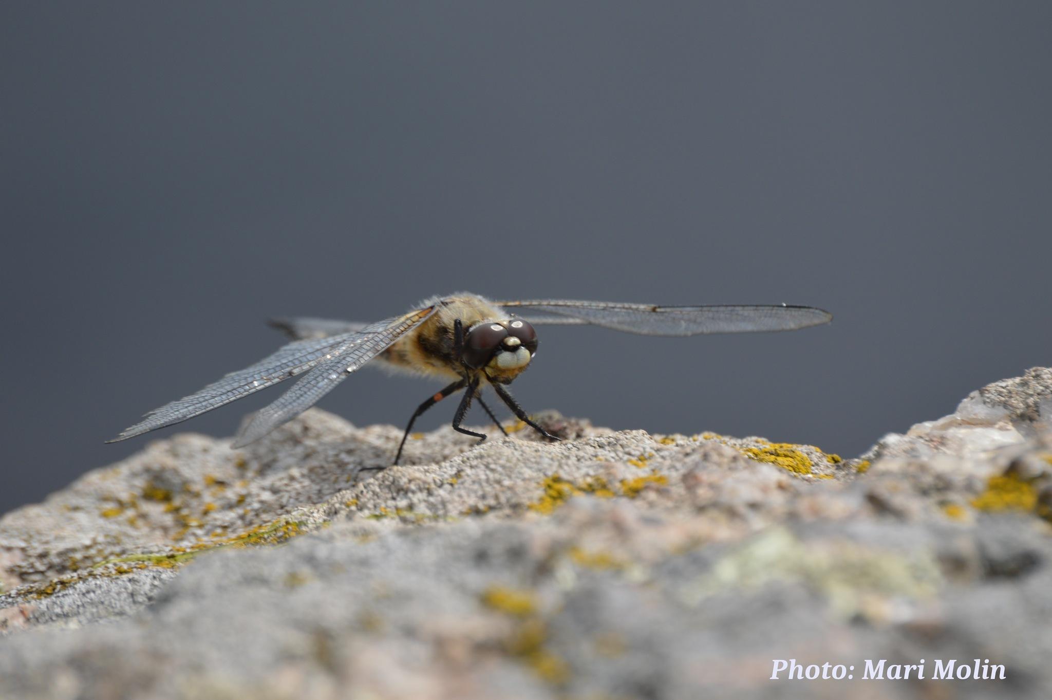 The dragonfly by Mari Molin