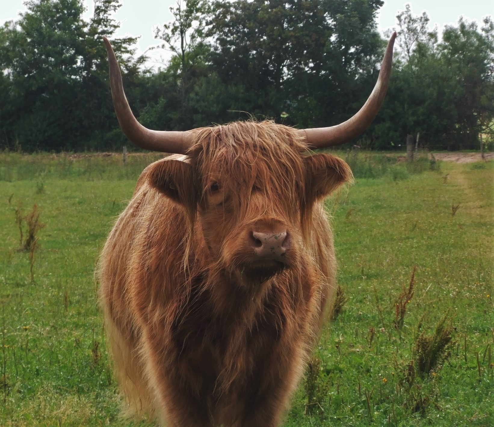 Highland cattle by Oliver Neumann