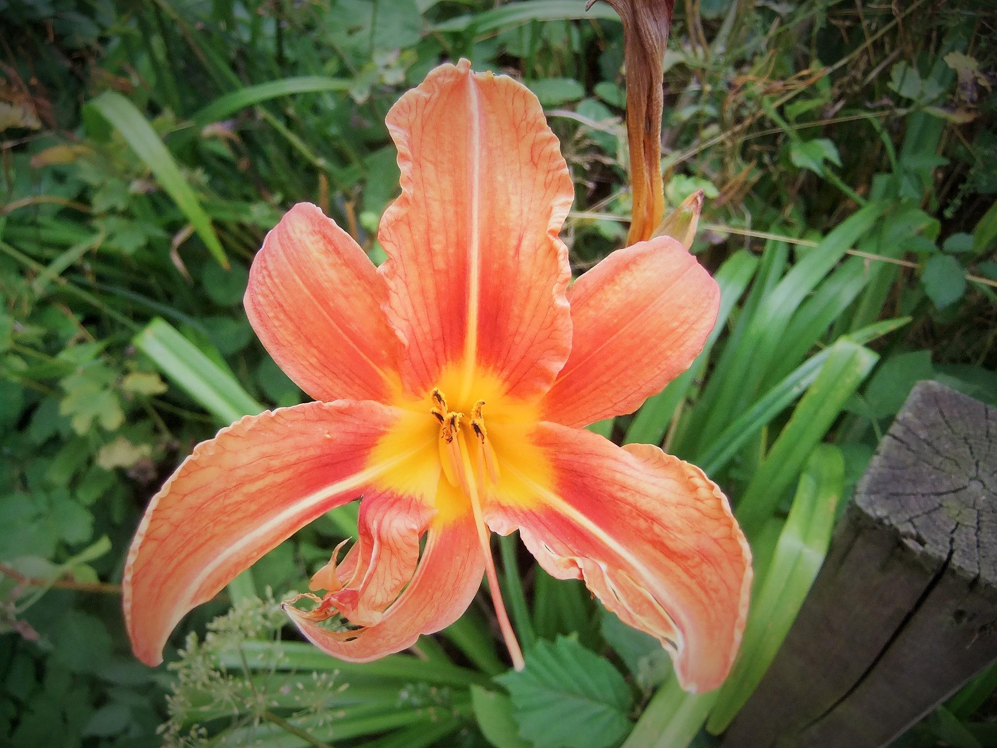 Photo in Macro #lily