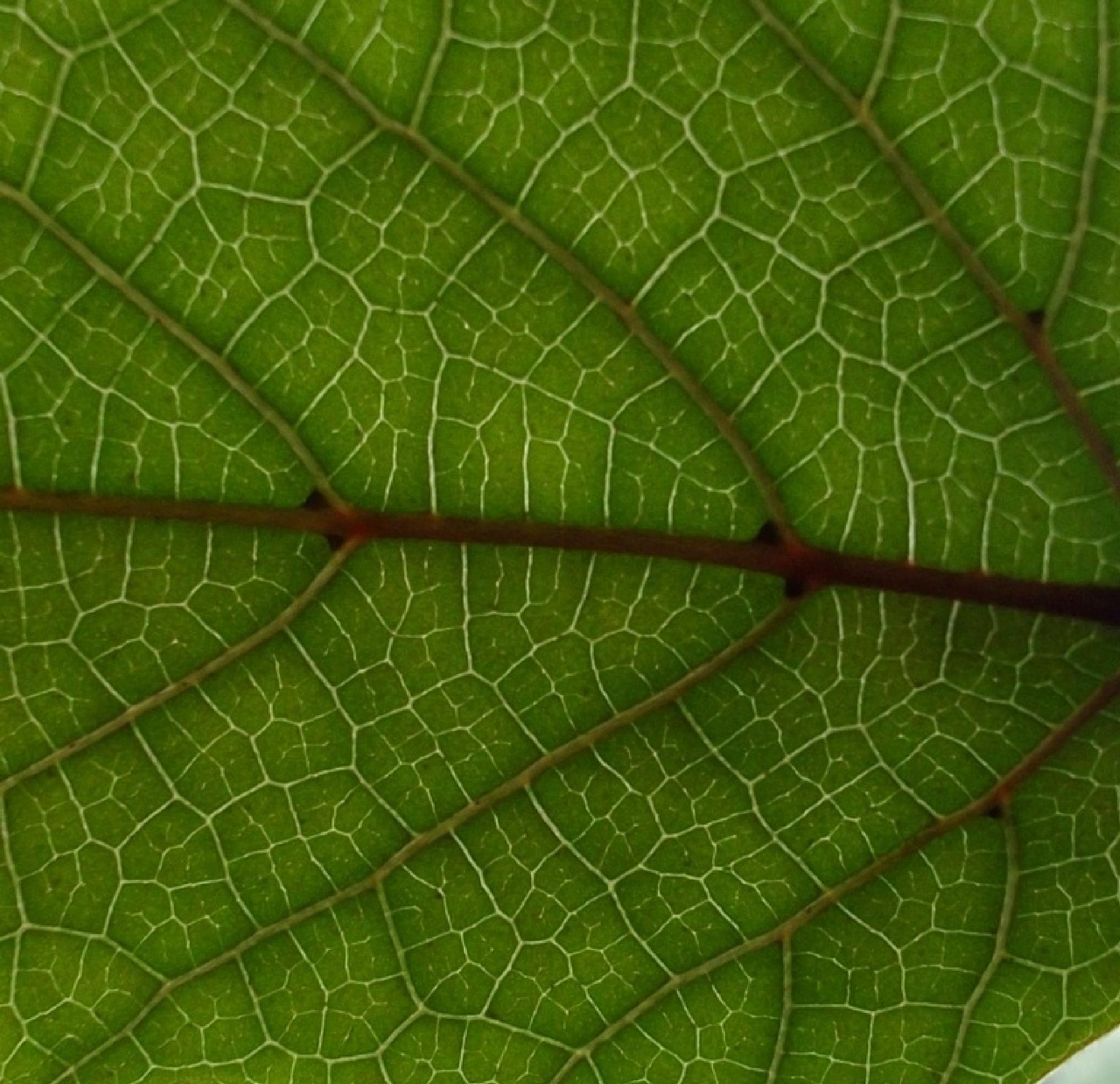 Russischer Wein Macro  (Cissus rhombifolia) by Oliver Neumann