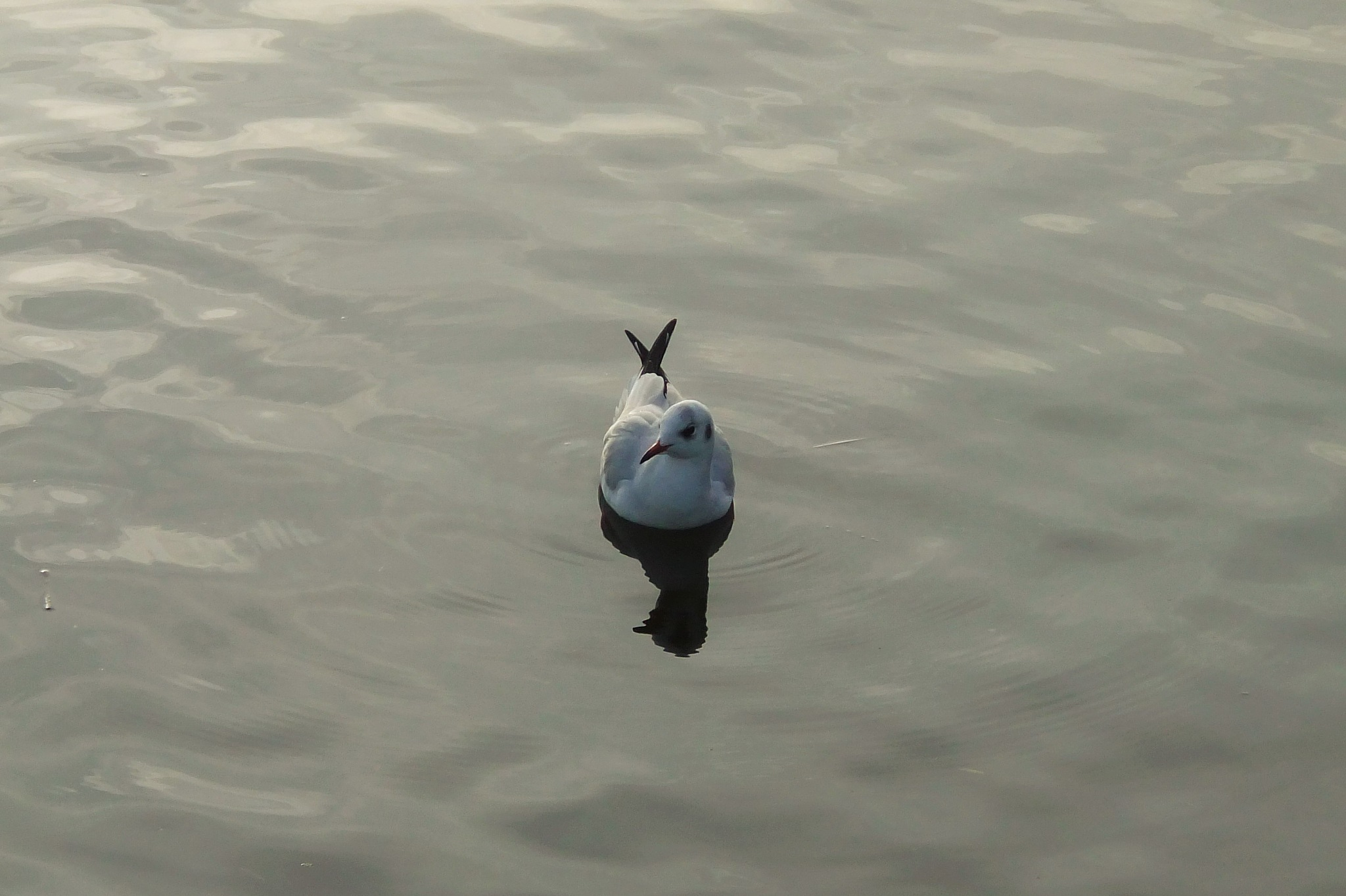 A gull on water by Oliver Neumann