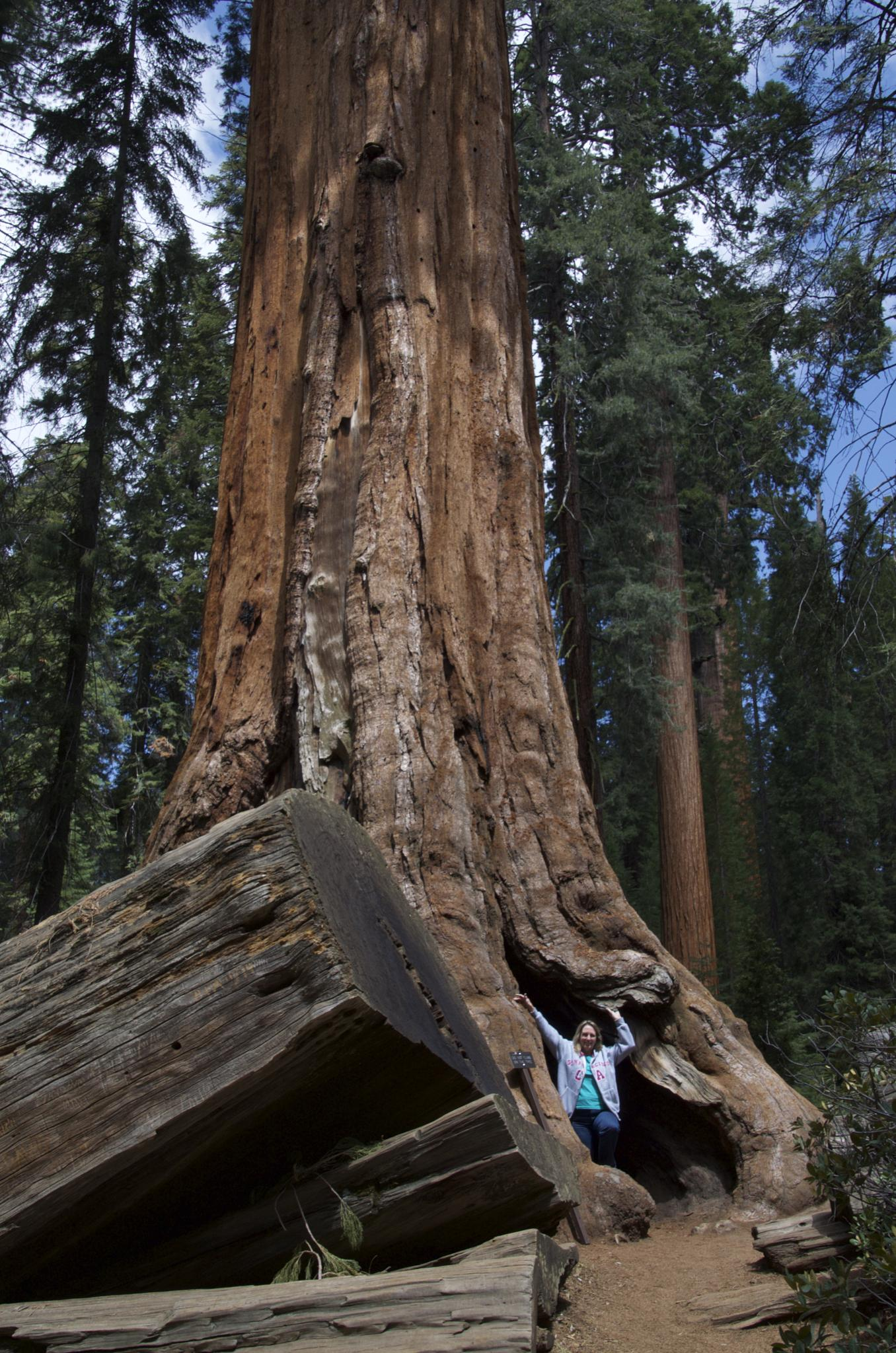 Giant Sequoia trees by Laurie Deakin