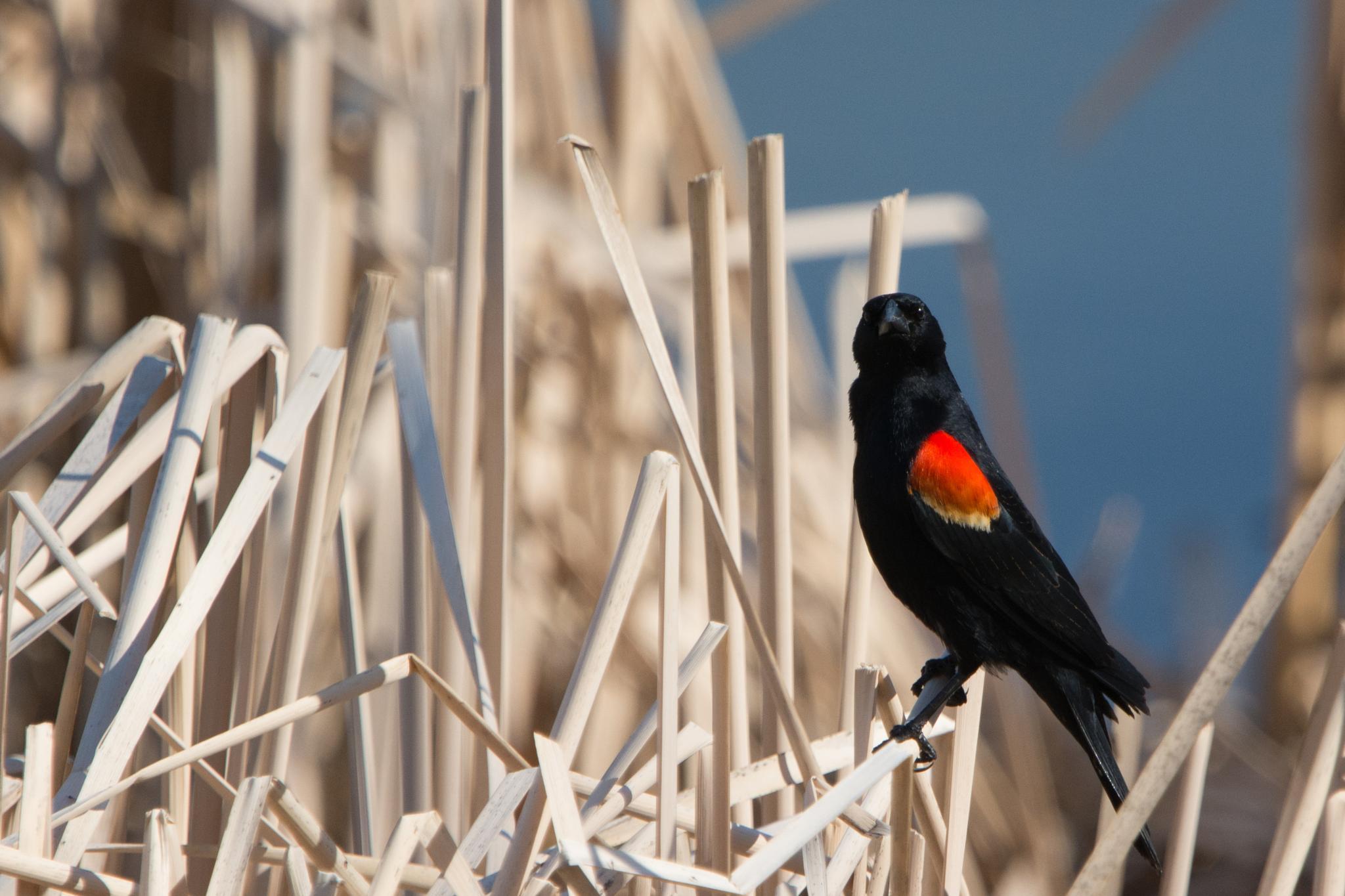 Photo in Animal #red wing #black bird #lake #reeds #water #bird #animal #spring