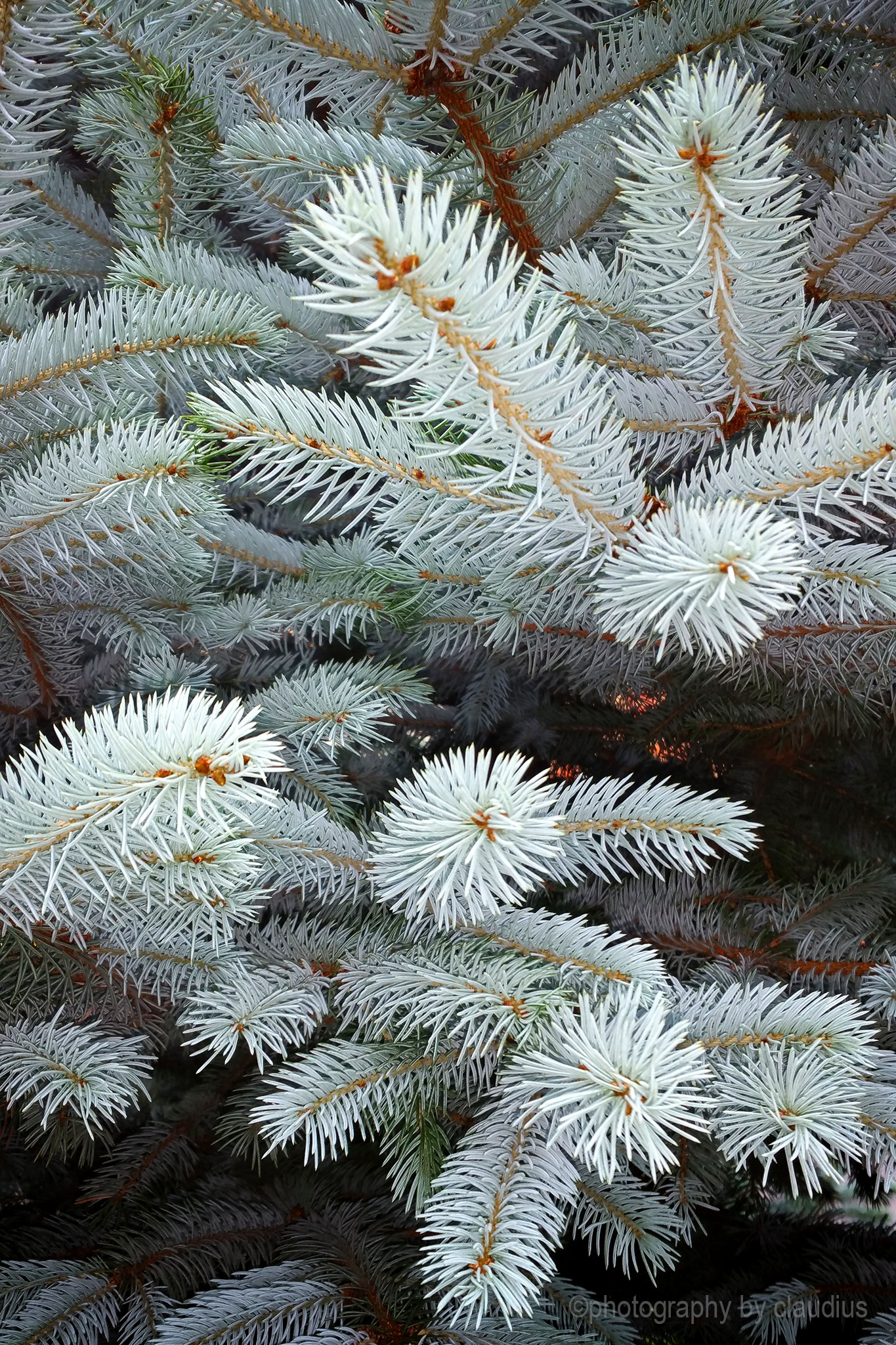 Blue spruce... by Claudius Cazan