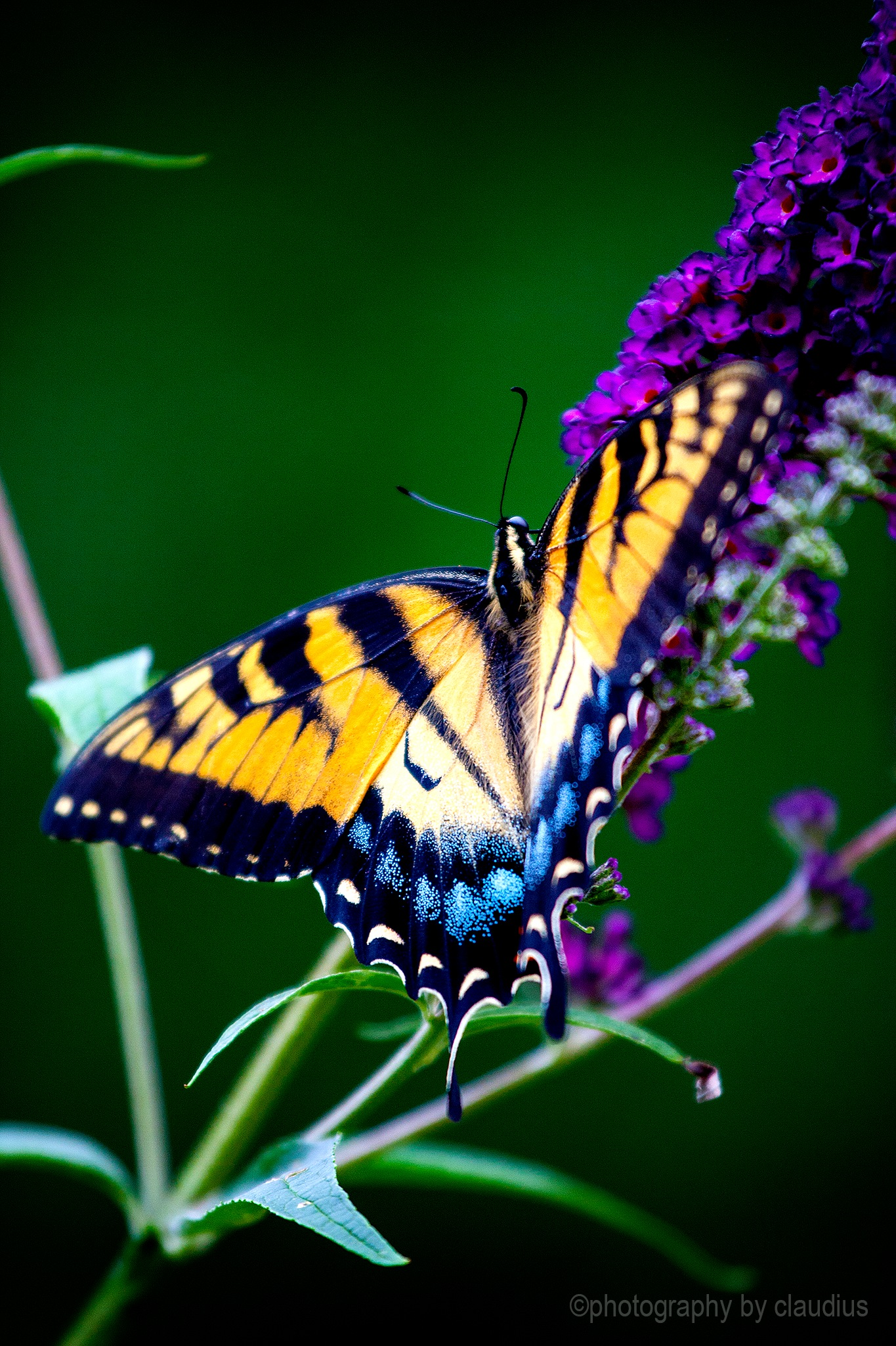 My Swallowtail... by Claudius Cazan