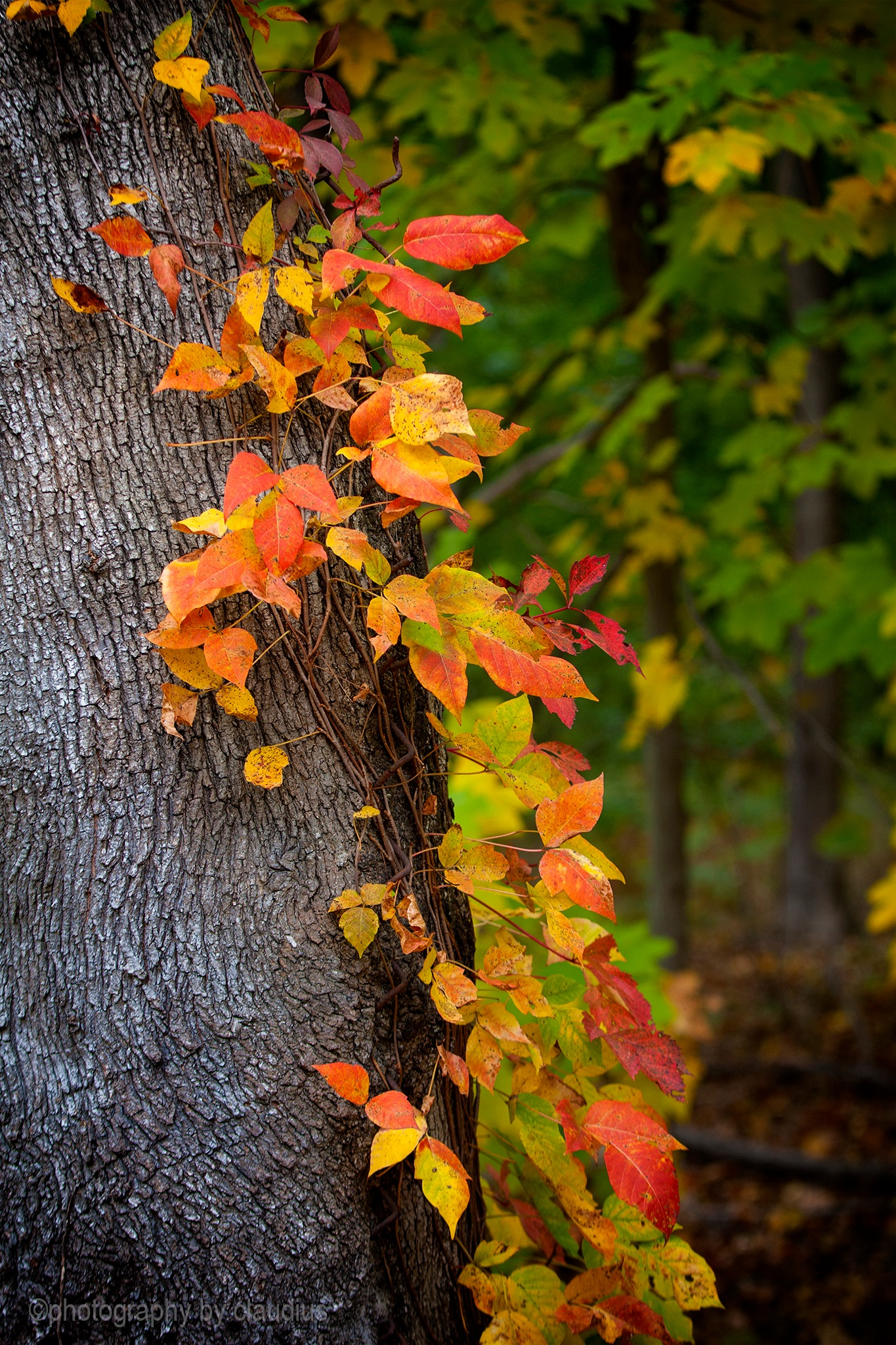 Still climbing the tree... by Claudius Cazan