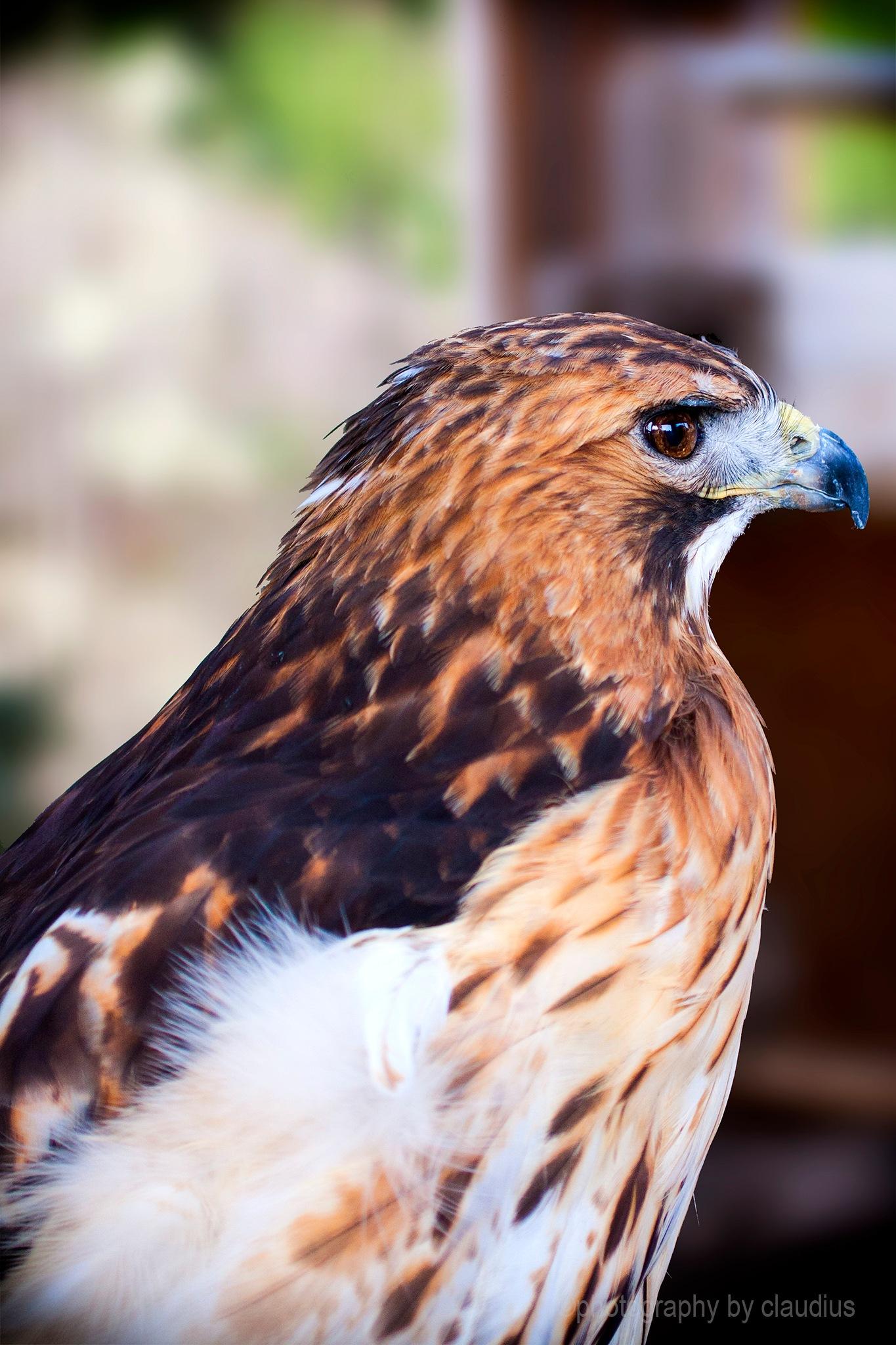 Hawk attitude by Claudius Cazan