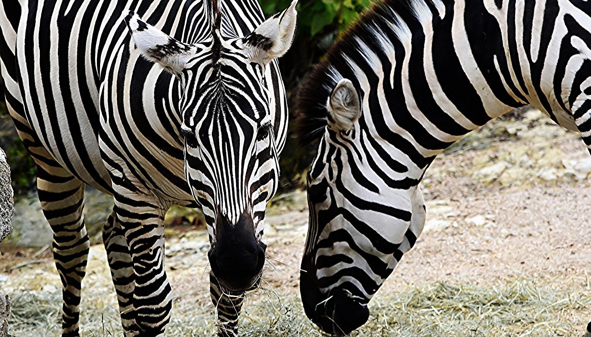 Zebra's by kelli.oconnormays
