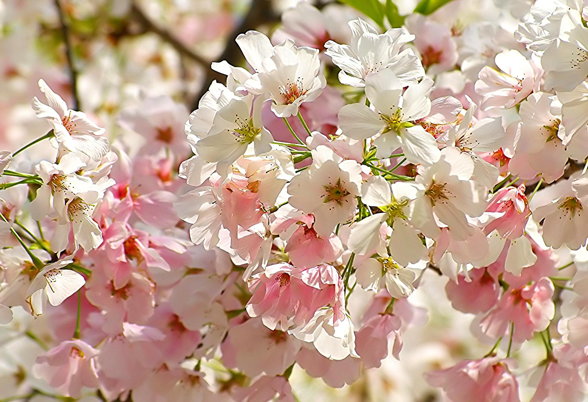 Cherry Blossoms by kelli.oconnormays