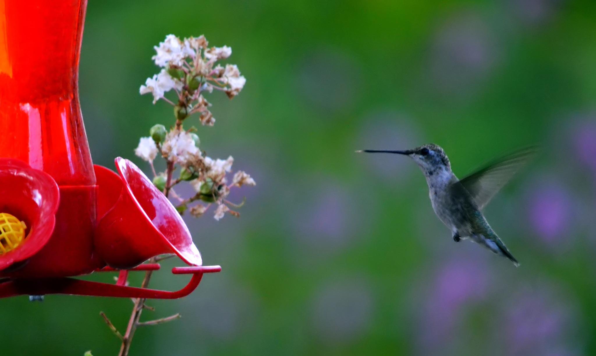 Hummingbird by kelli.oconnormays