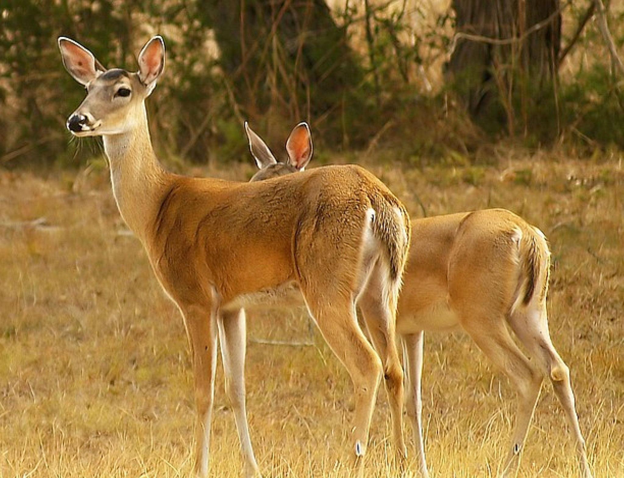 Deer by kelli.oconnormays