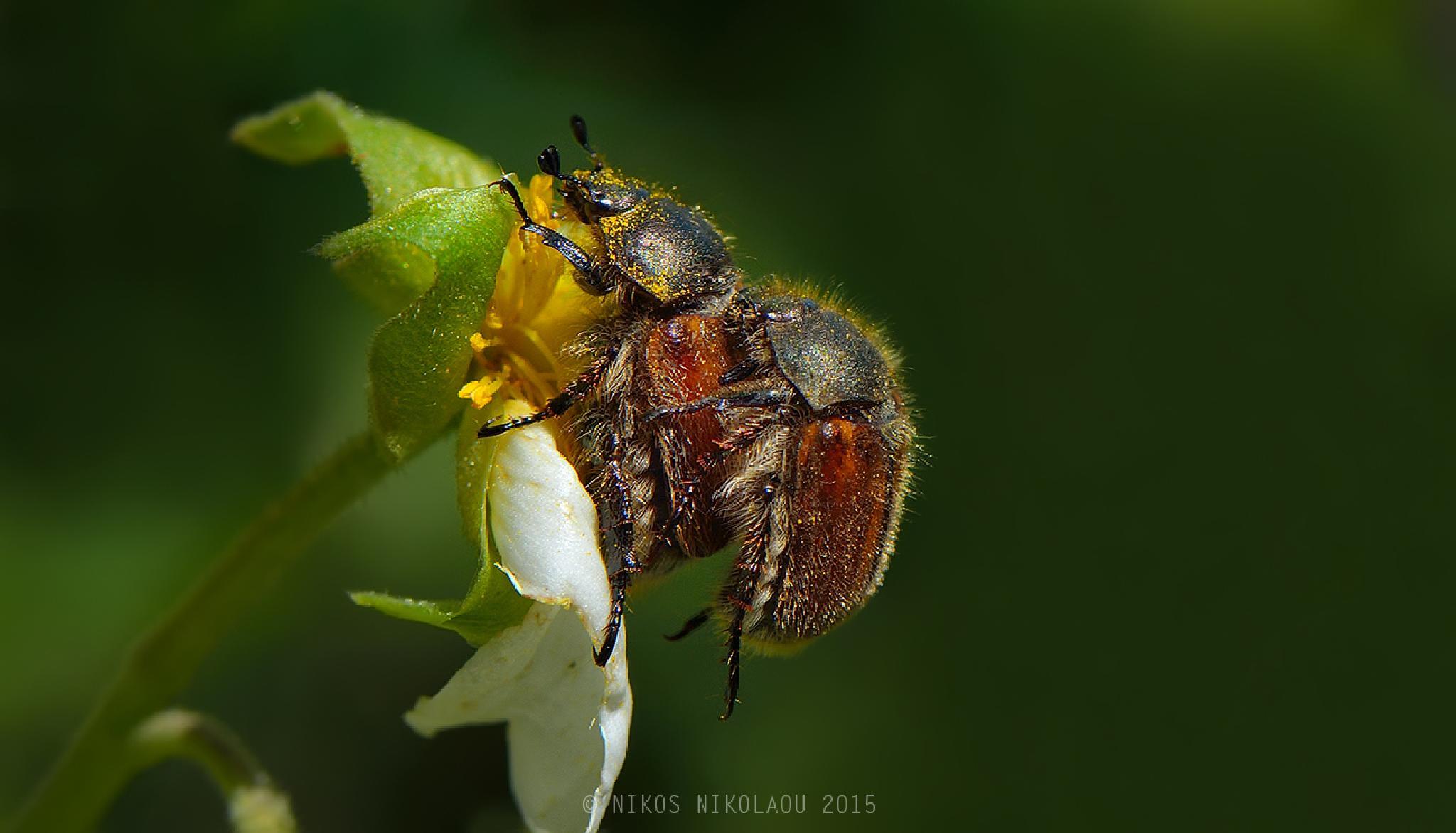 Phyllopertha horticola by nikos nikolaou