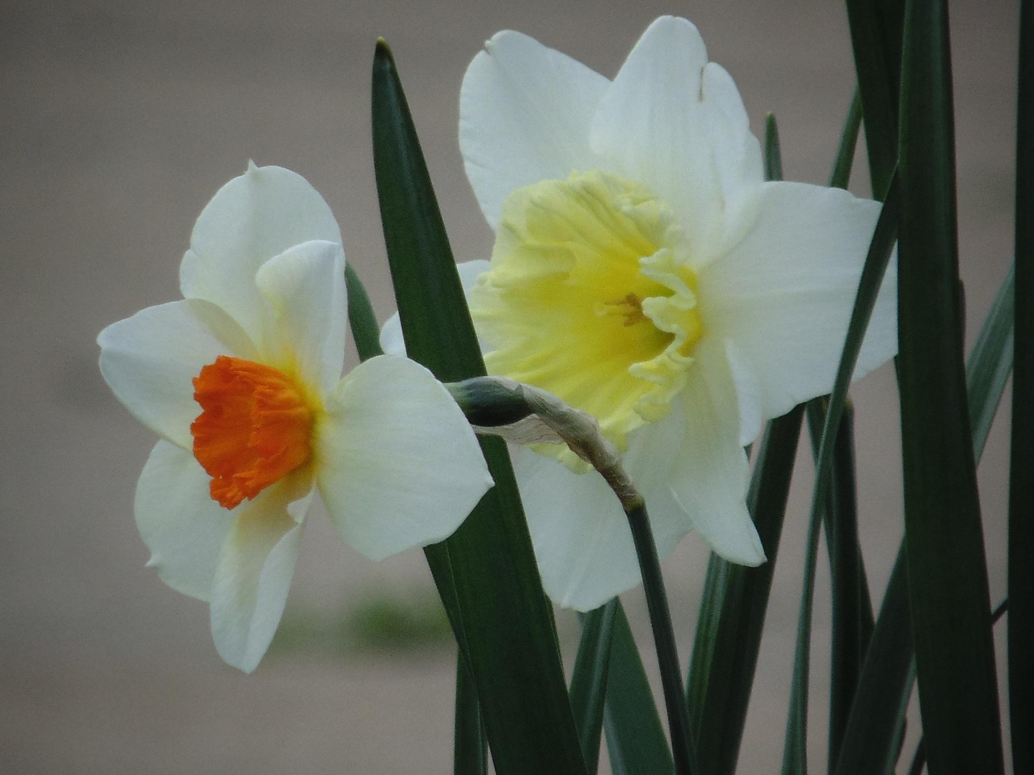 Daffodils  by tracy.halman