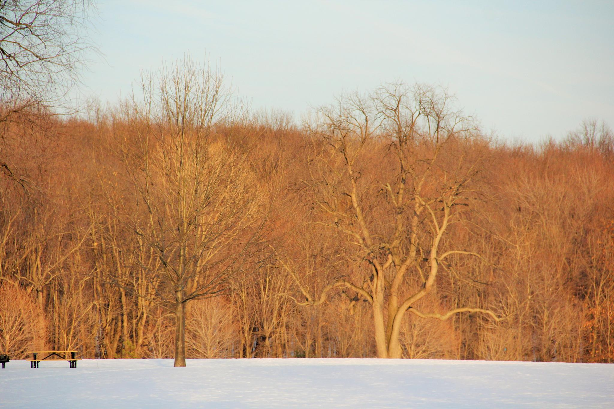 winter trees by tracy.halman