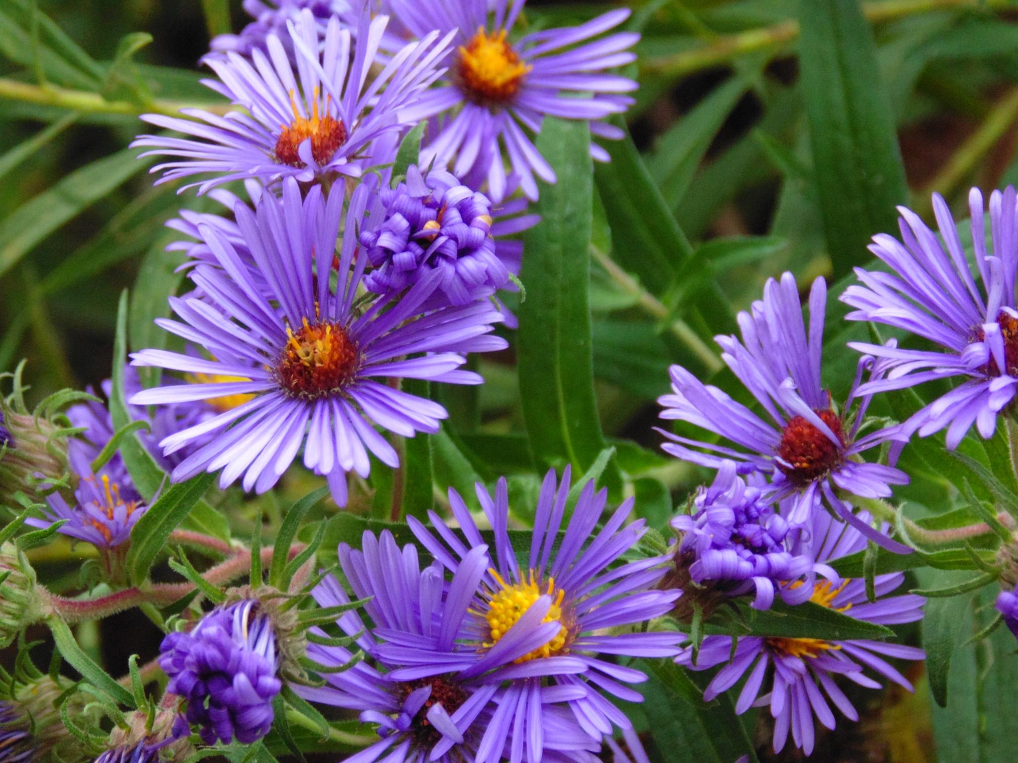 Purple wonder by tracy.halman
