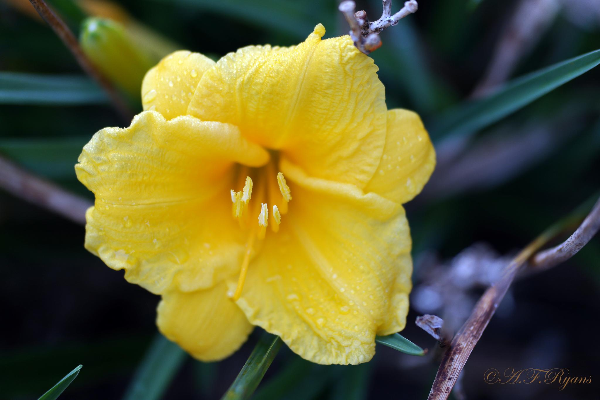 Love Flowers (yellow) by afryans