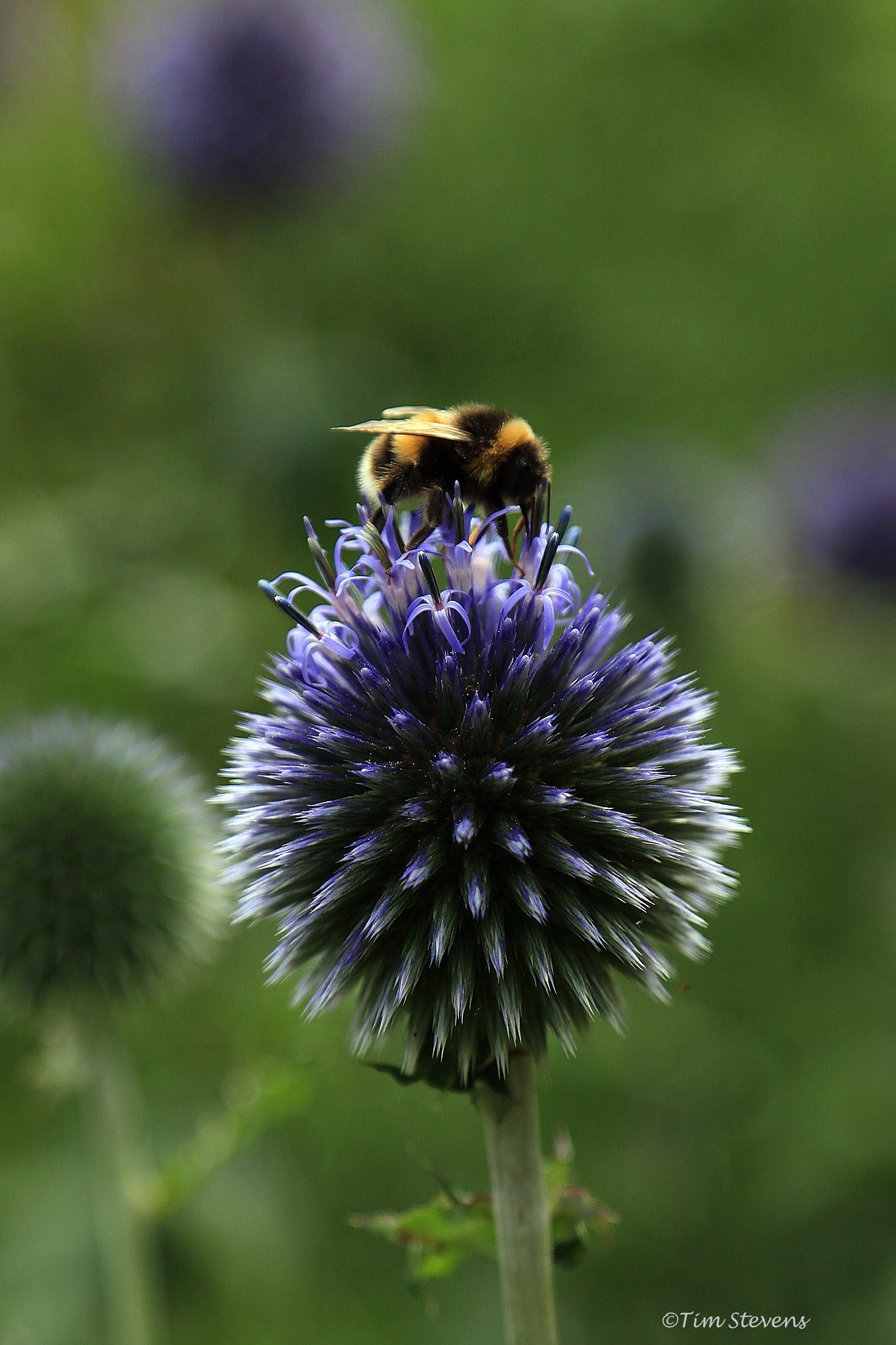Bee & Thistle by Tim Stevens