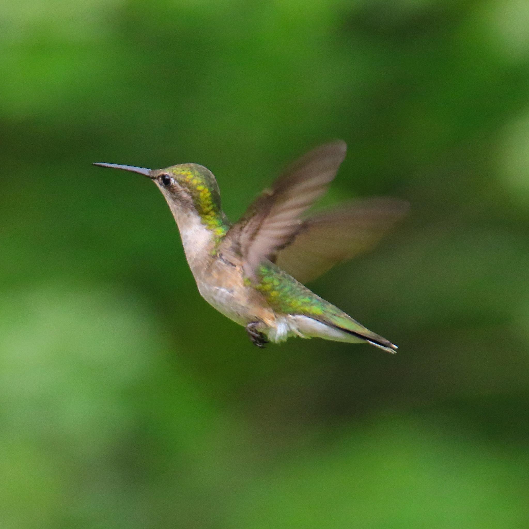Humming Bird 2 by Tim Stevens