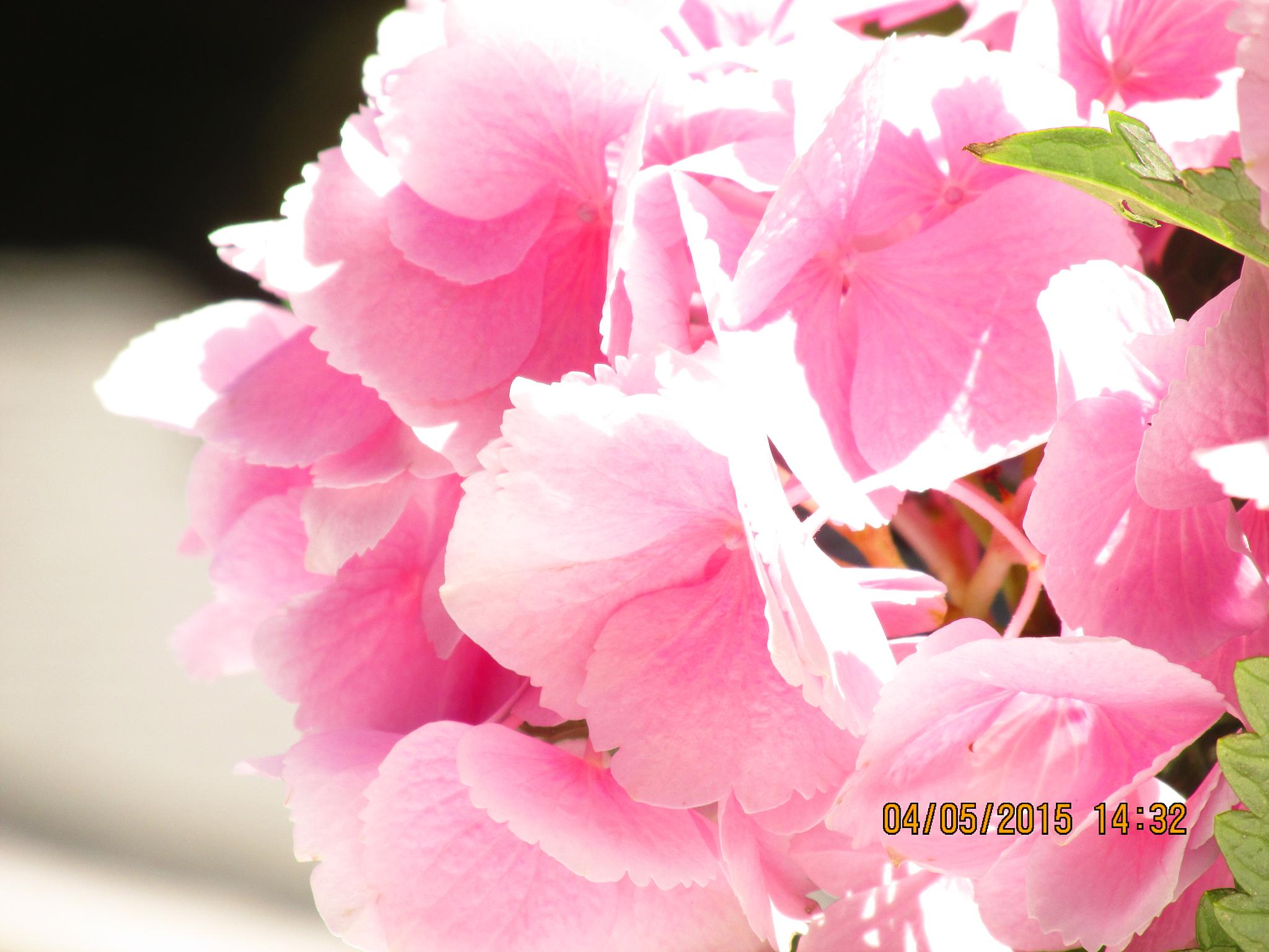 Easter Hydrangea by bj.ameyguckert