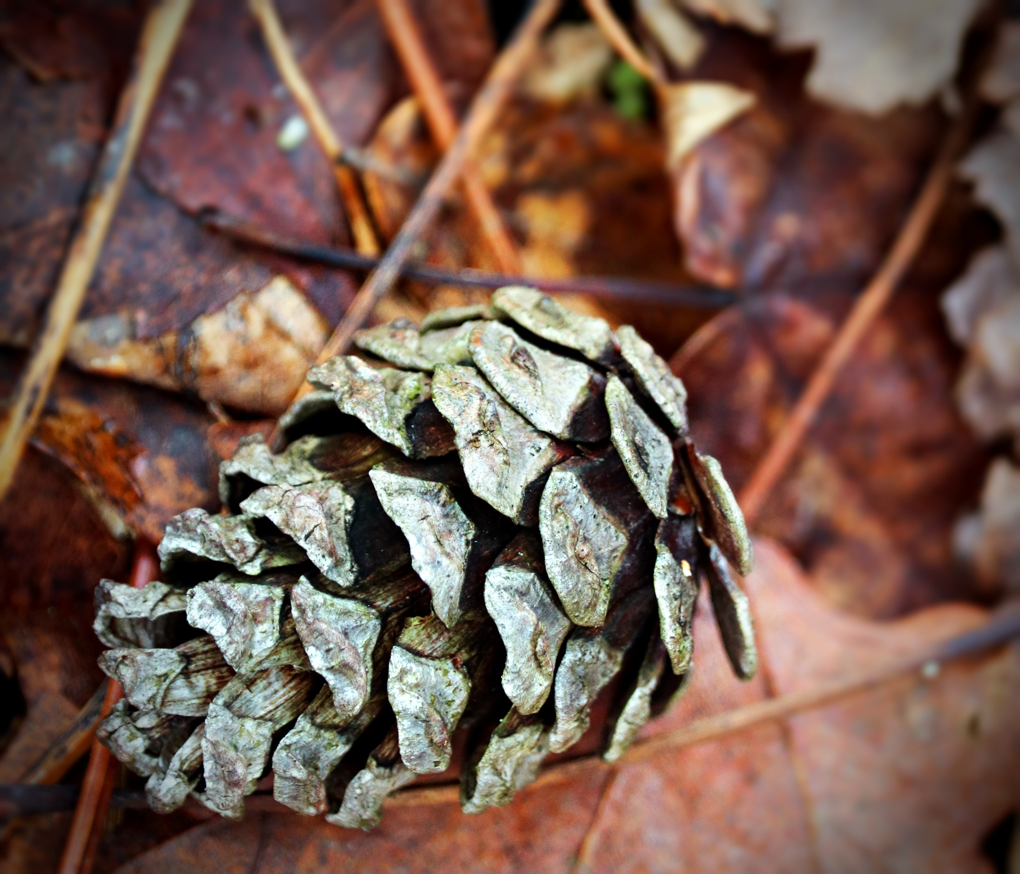 Tiny Pine Cone by Jules.D