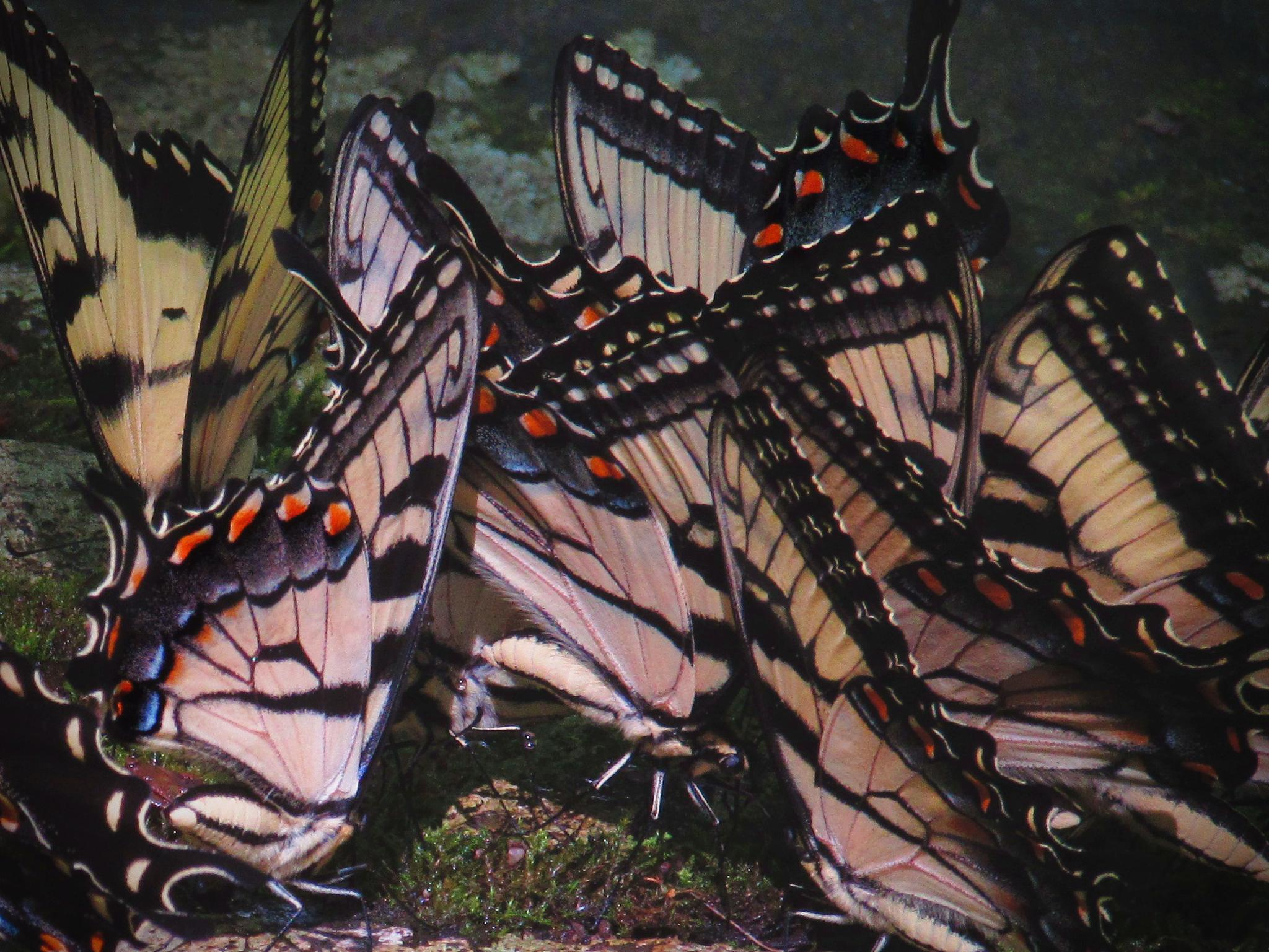A Butterfly Convention on the Little River Trail by Jules.D