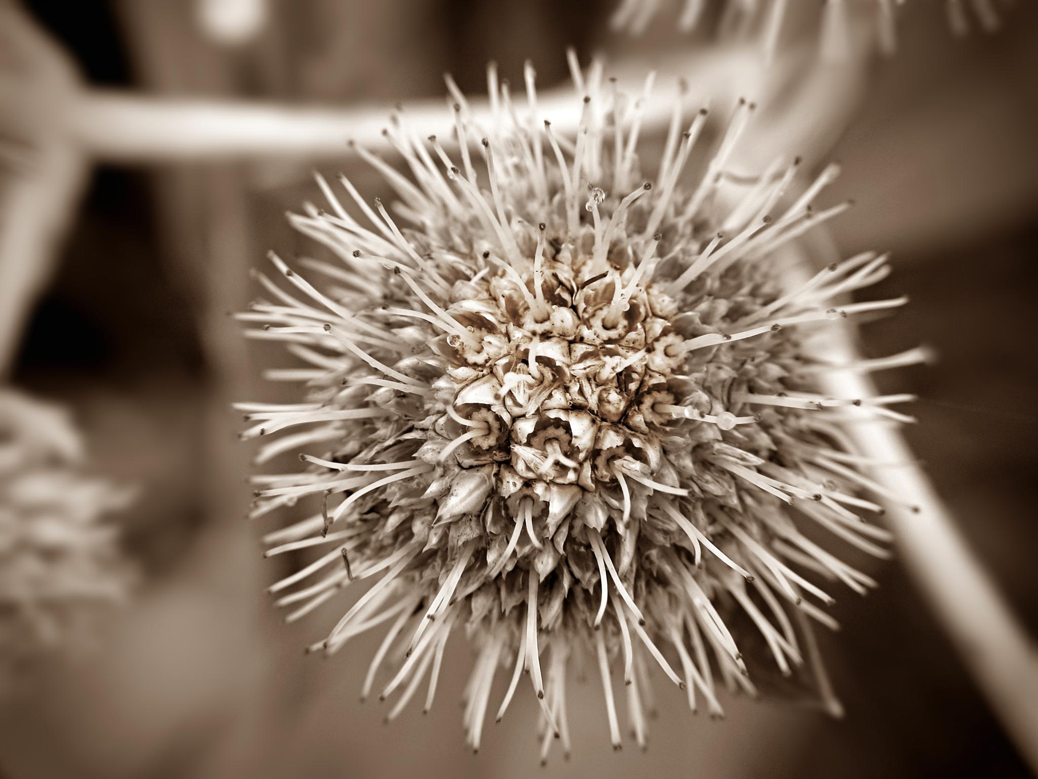 Sepia Prickly Ball by Jules.D