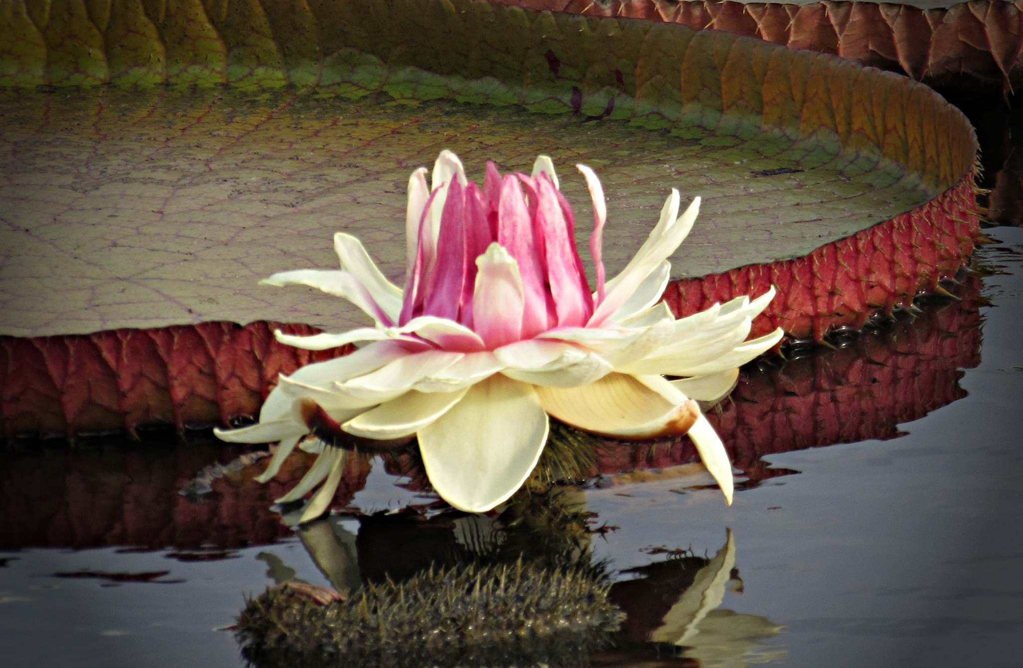 Victoria Water Lily by Jules.D