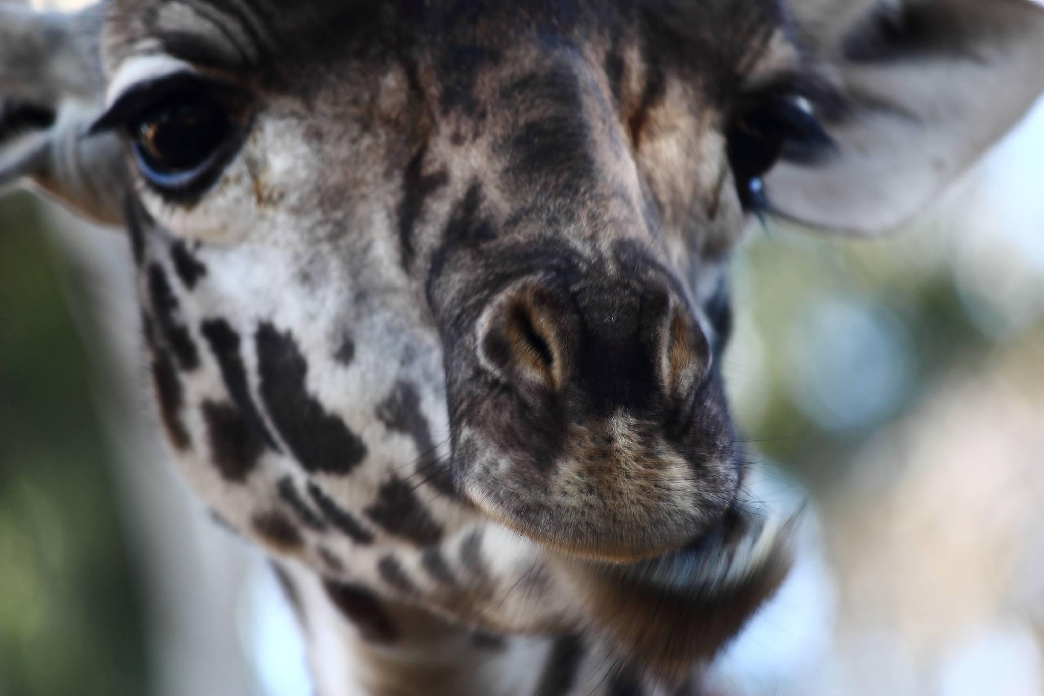 Giraffe by kat.larsen1