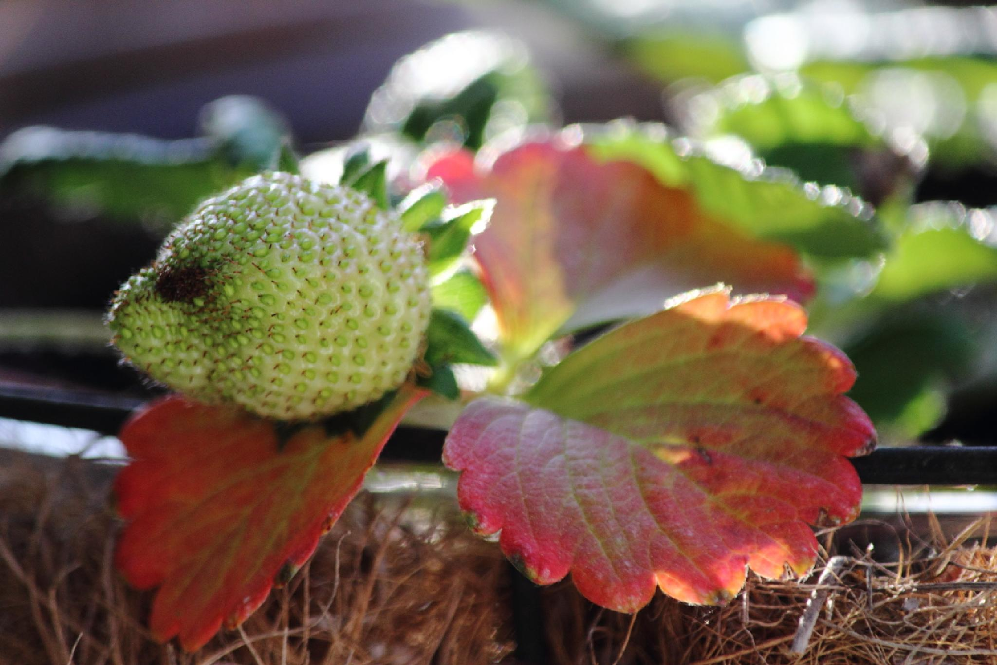 Red Leaves, Green Strawberry by kat.larsen1