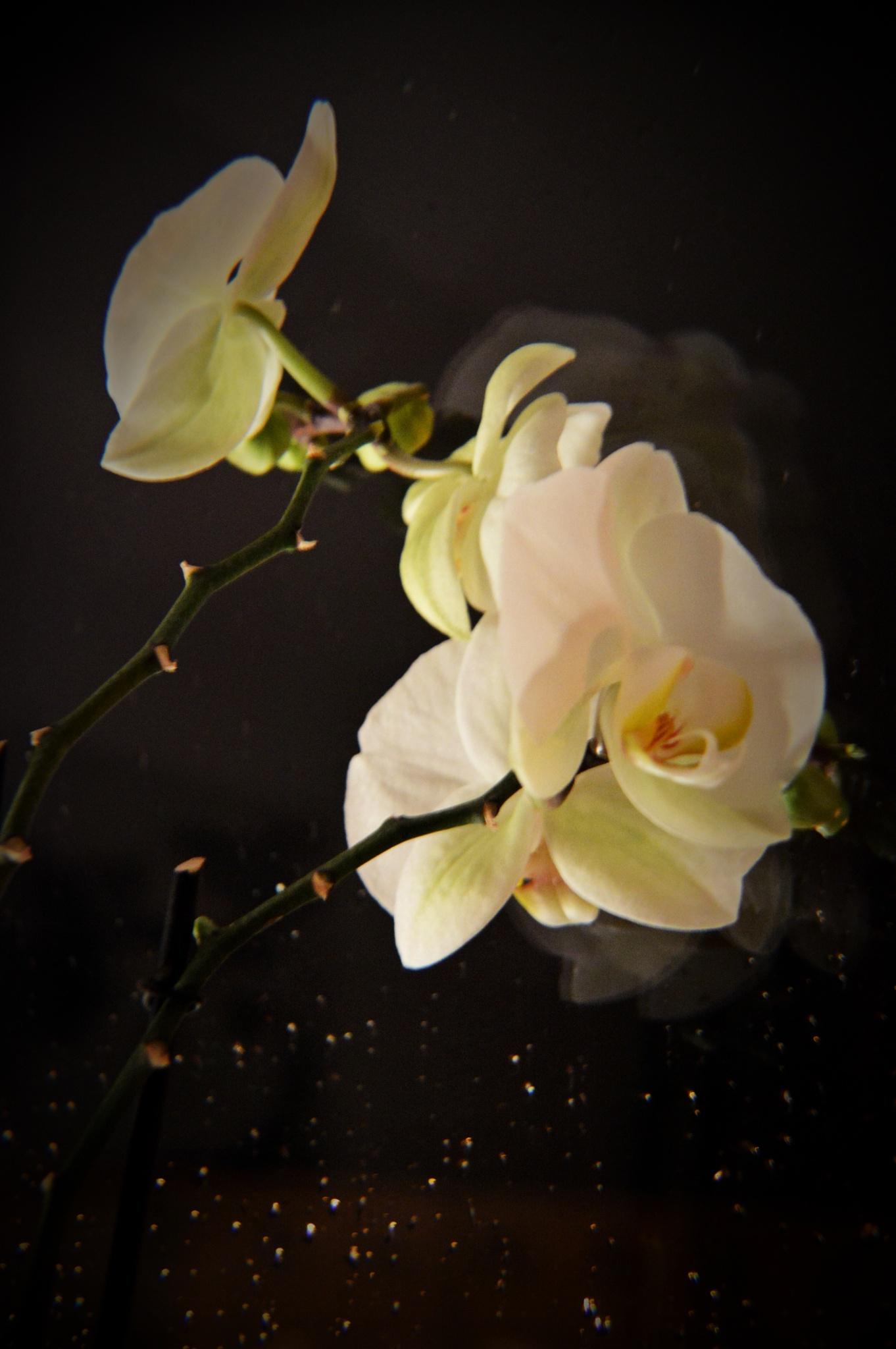 Orchid by YanaIvanova