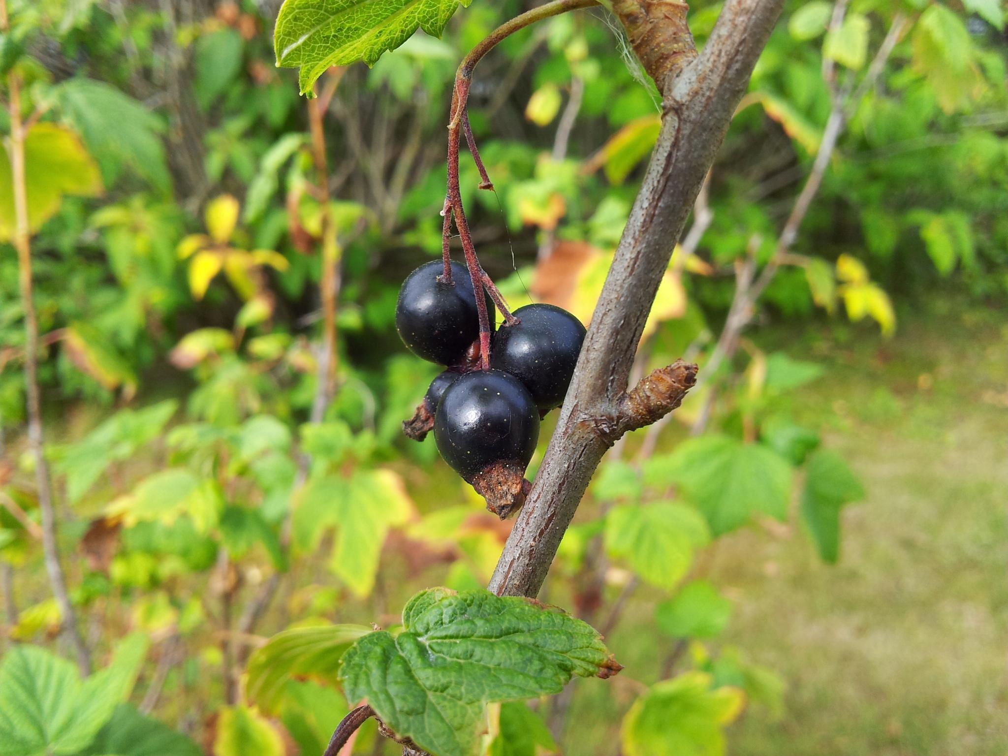 blackcurrant by anna.johansson.