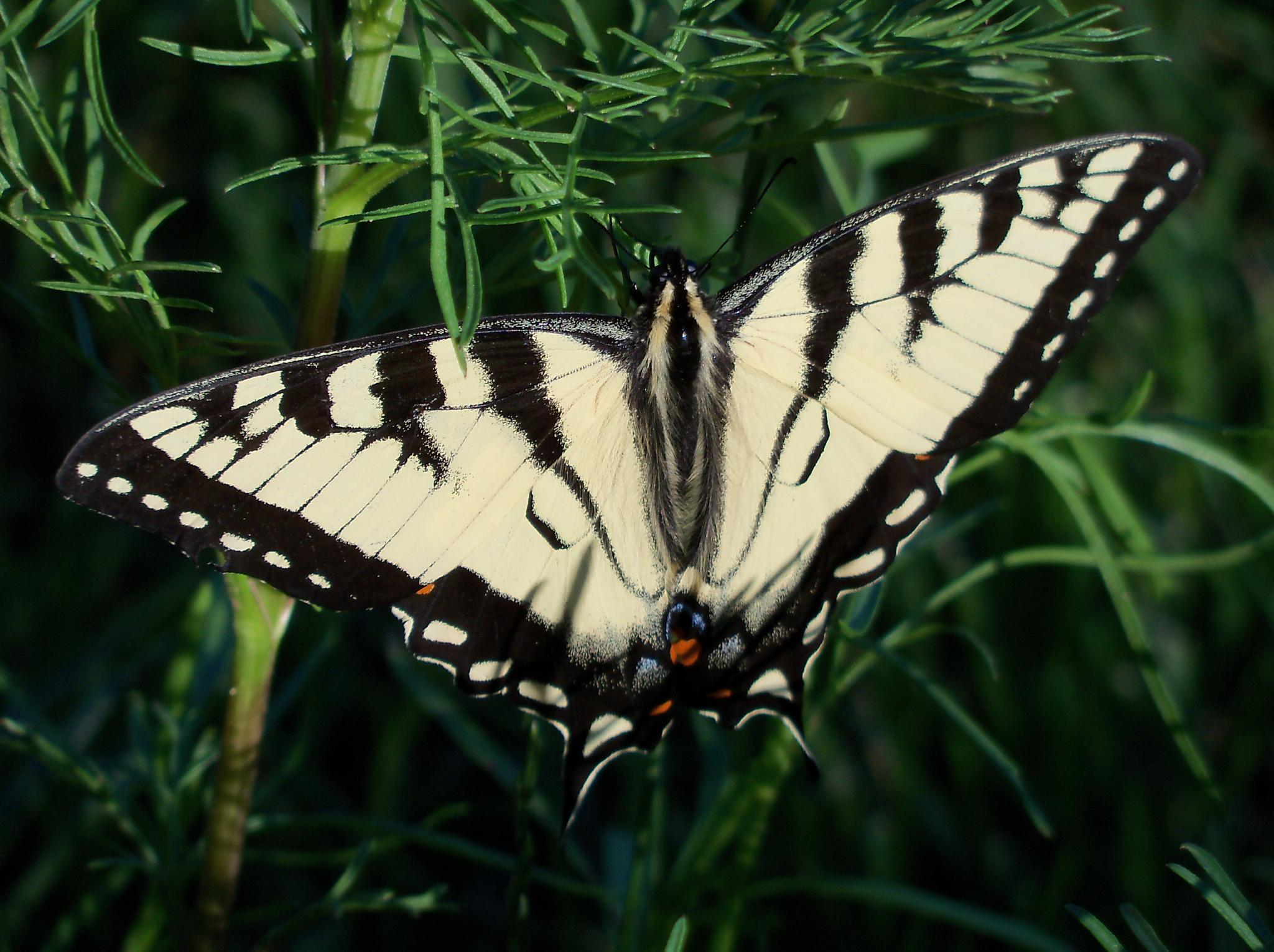 Eastern Tiger Swallowtail Butterfly by Miller