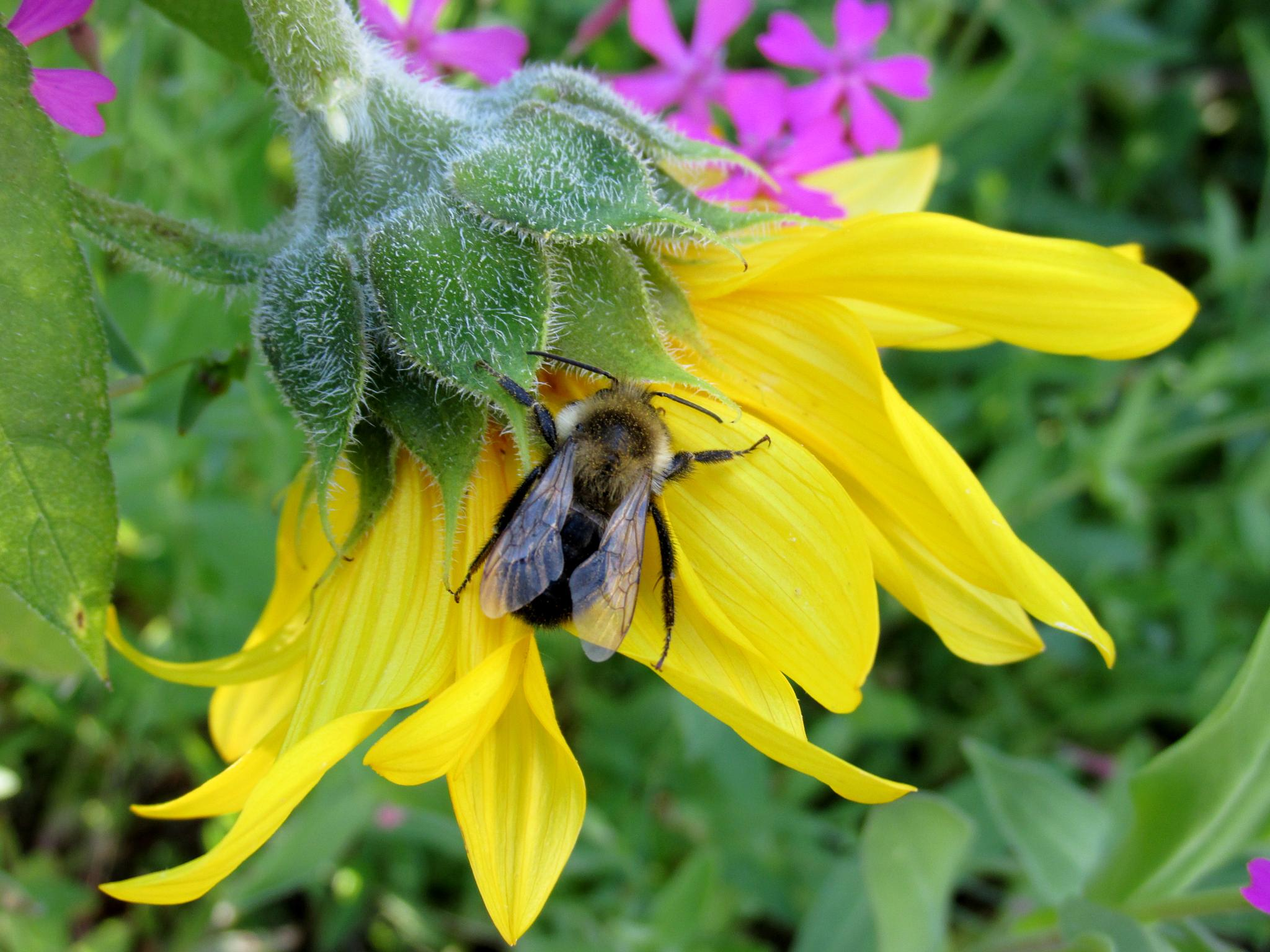 Bee On A Sunflower  by Miller