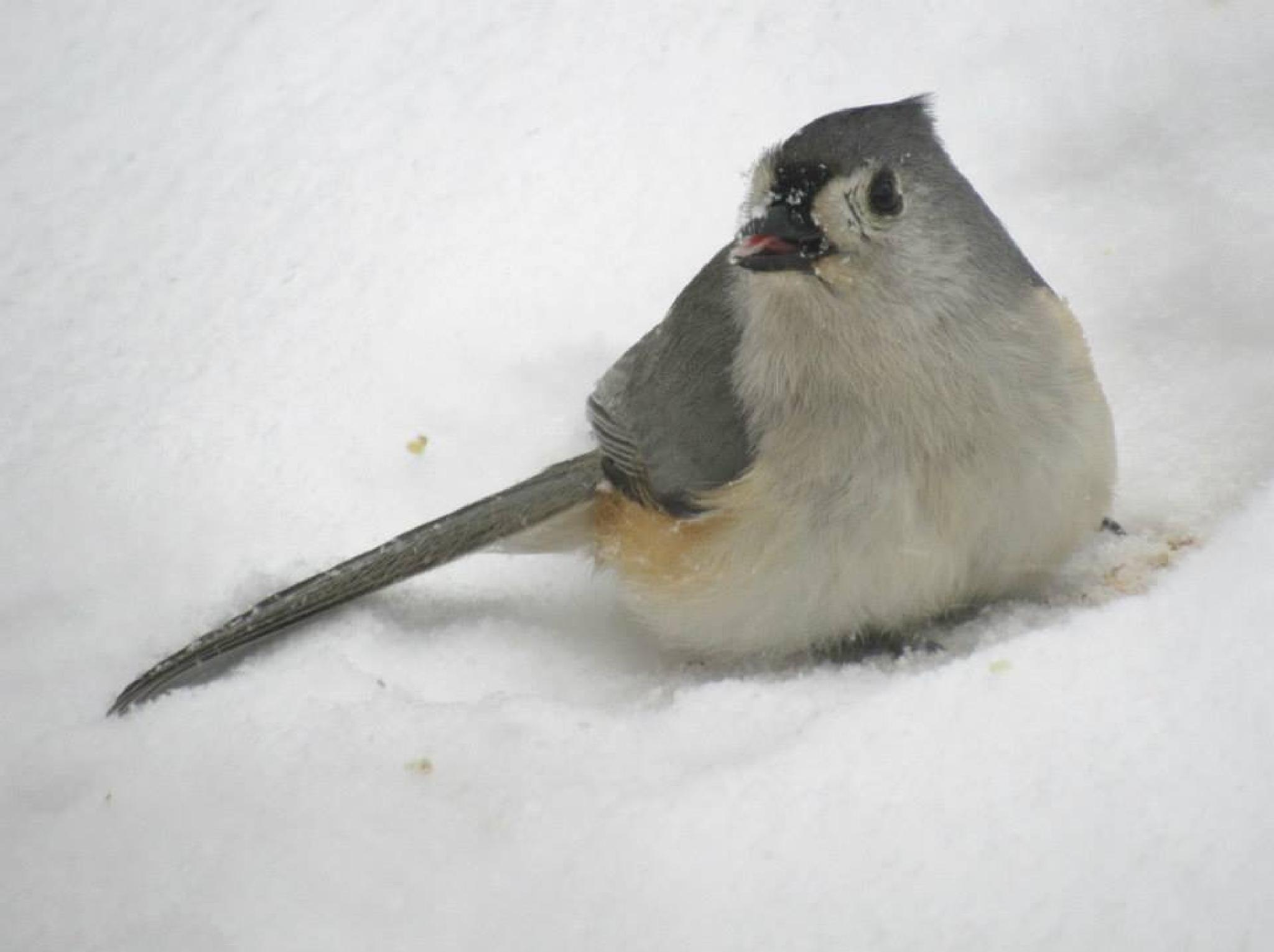 Tufted Titmouse by Miller