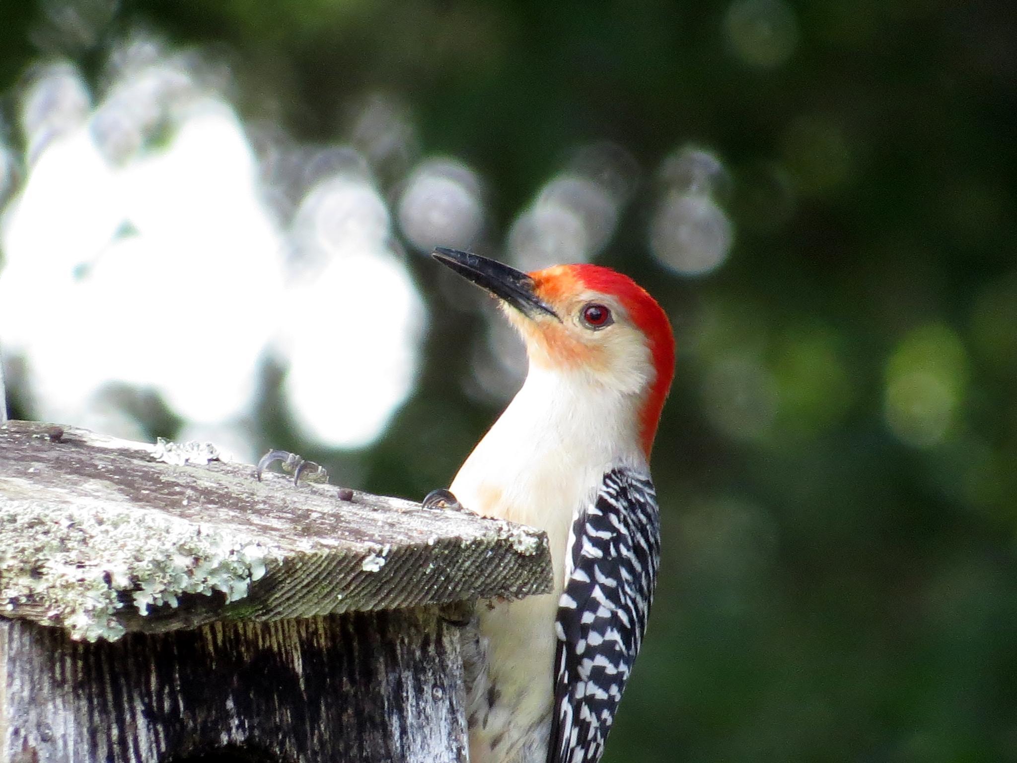 Female Woodpecker......... by hnheather