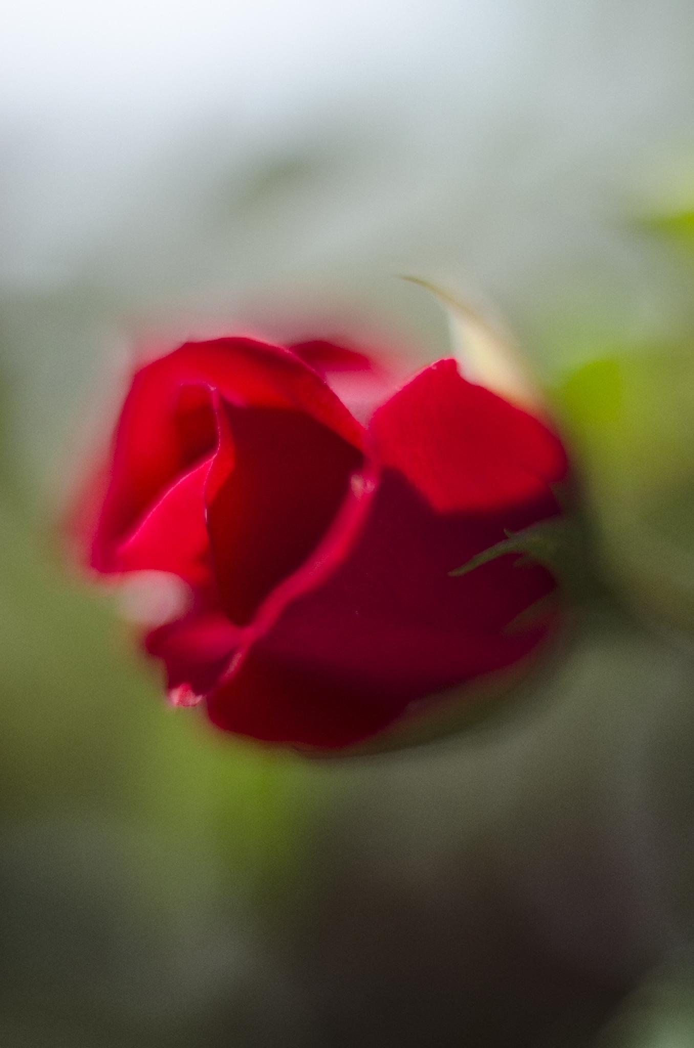 Rosa by Daniele