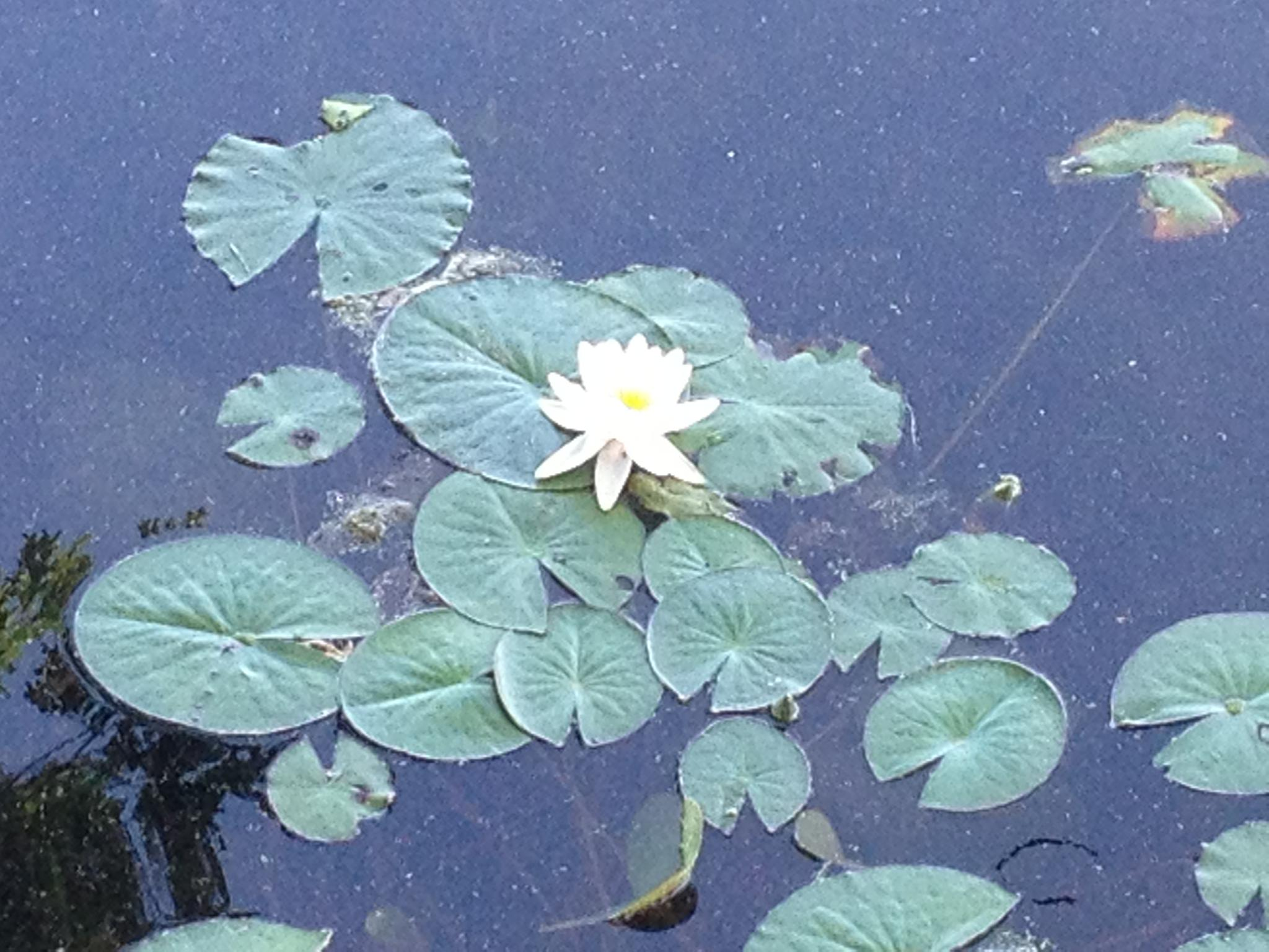 Water Lily by Tammy Terranova-Veach