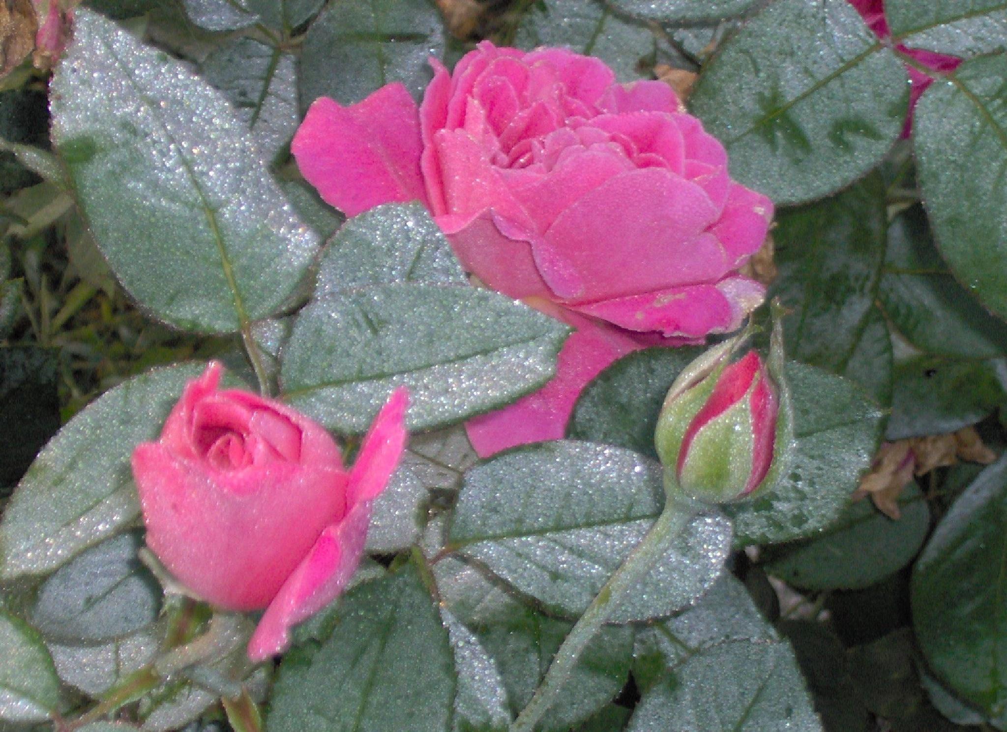 Morning fresh dew on the roses by april.throgmorton