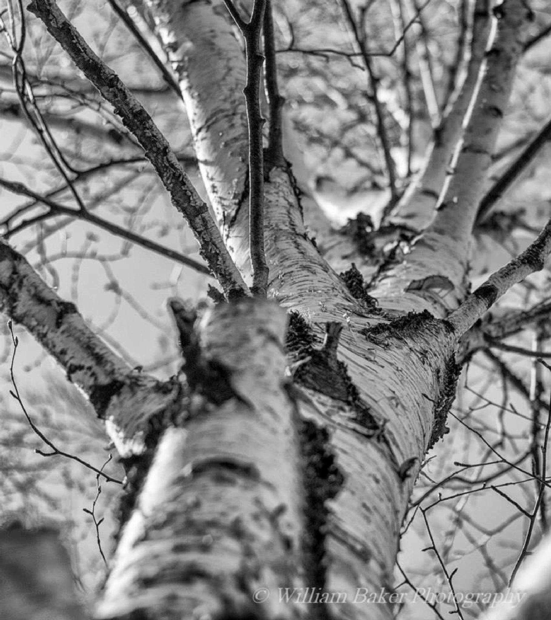 Winter Birch by william.baker.581