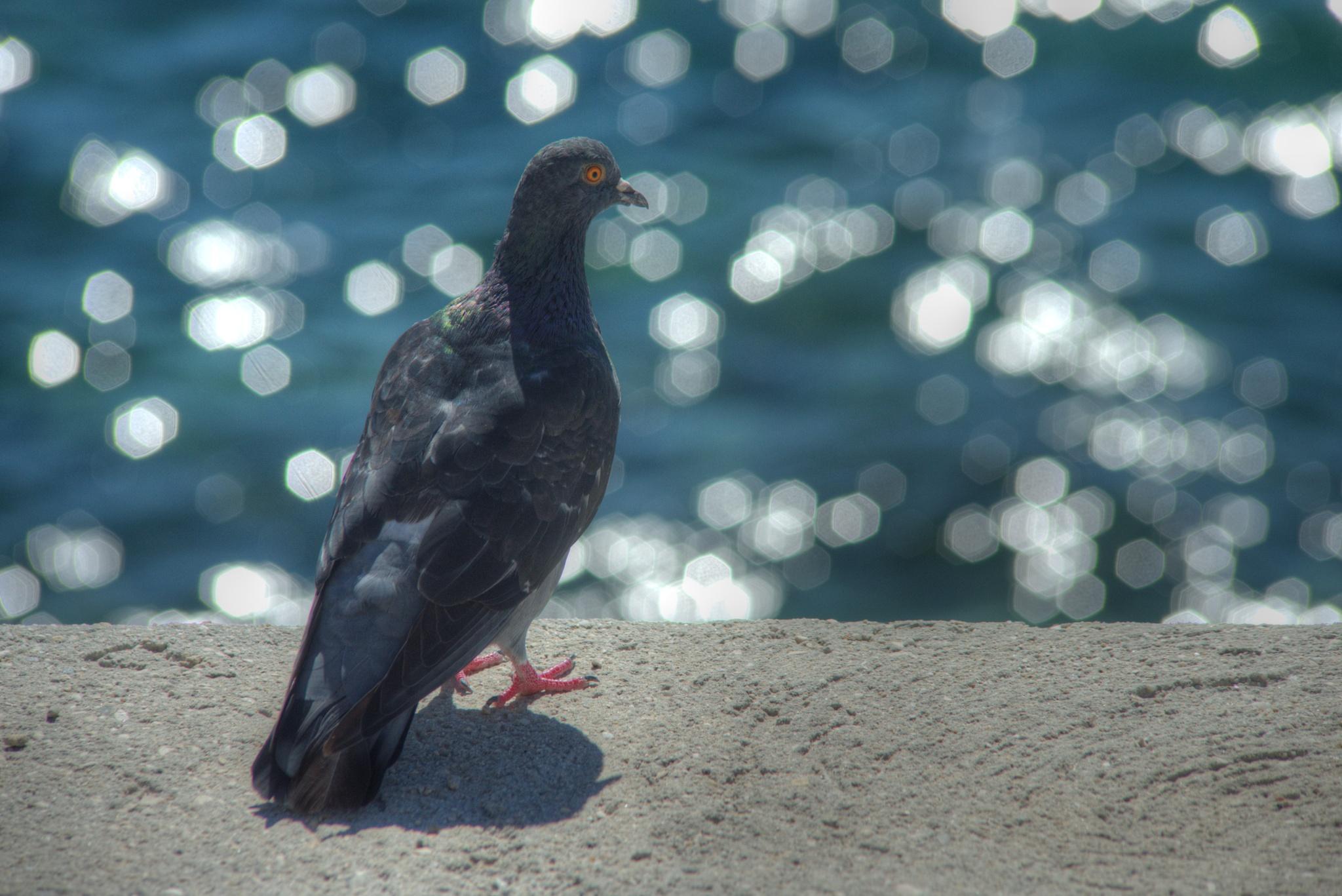 Le pigeon de Bandol by bernardf142