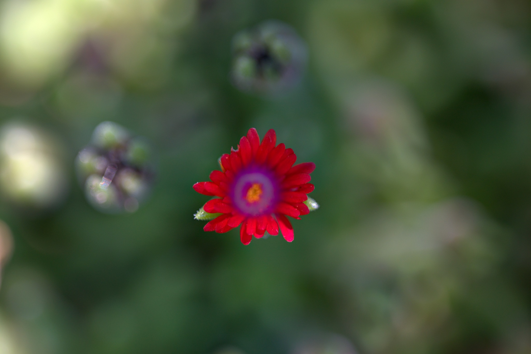 Fleur de plante grasse by bernardf142