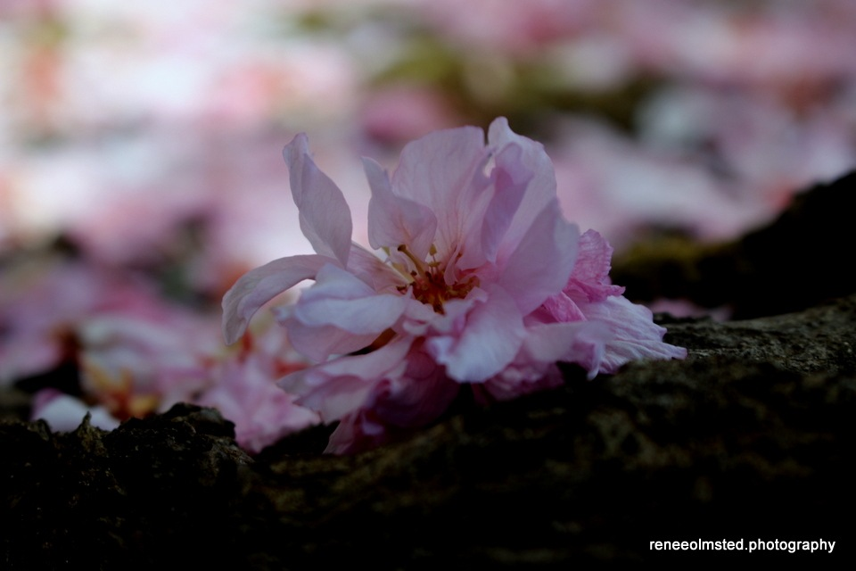 Fallen Cherry Blossom by Renee Olmsted Photography