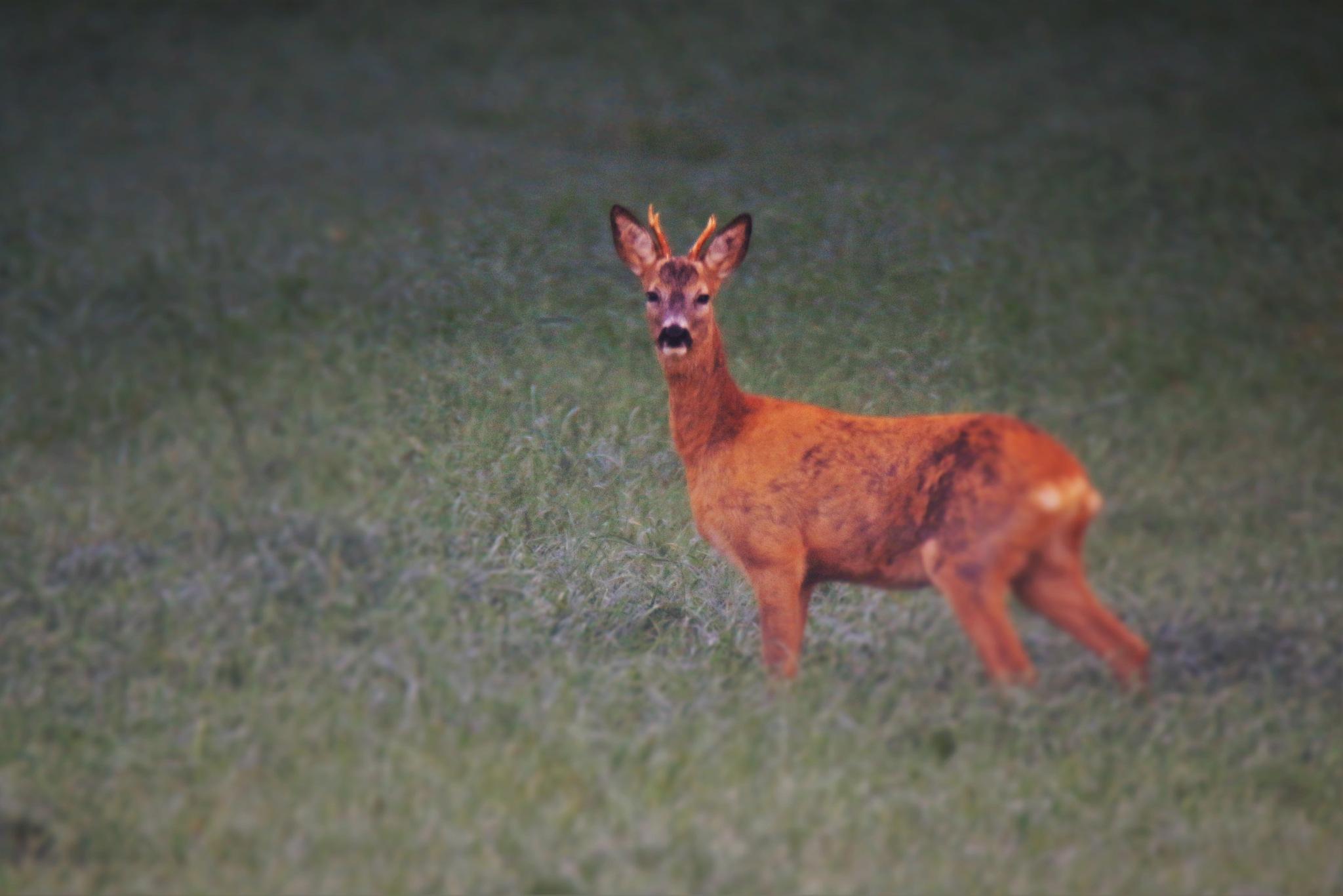 Deer by inge.braberg