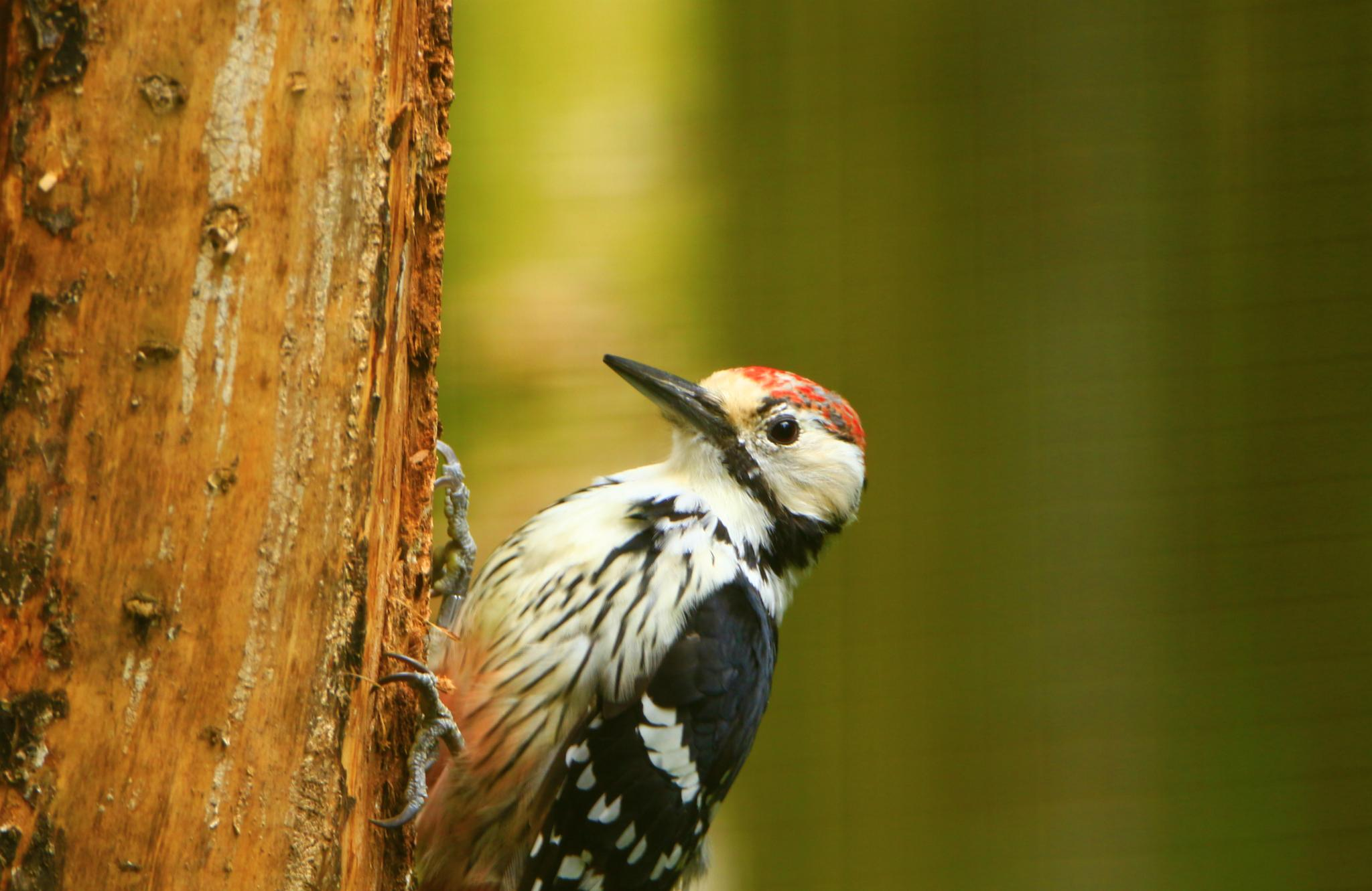 woodpecker by inge.braberg